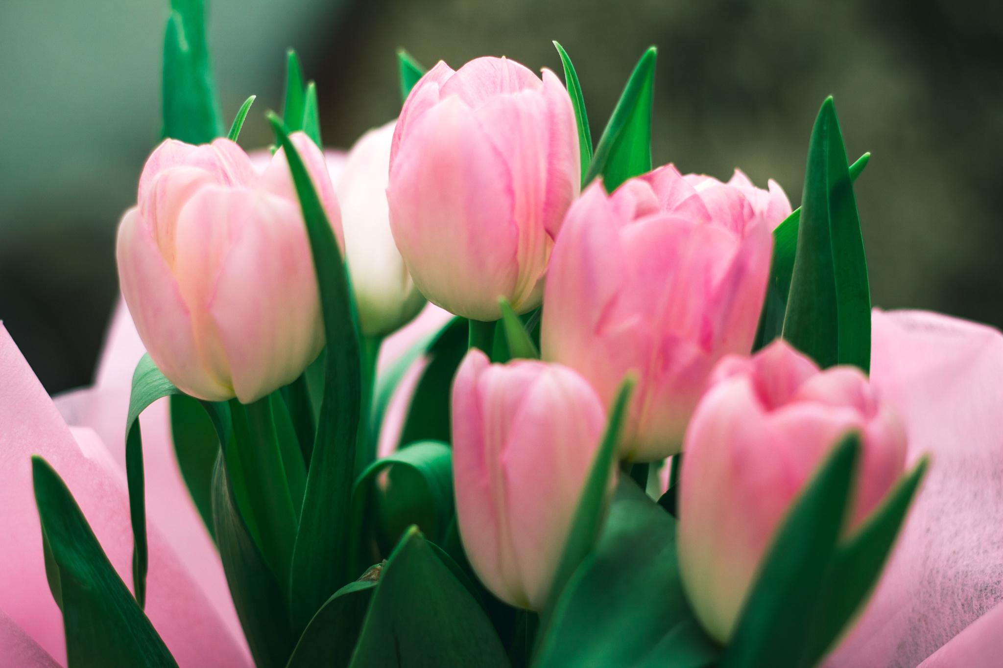 tulip-photo-161