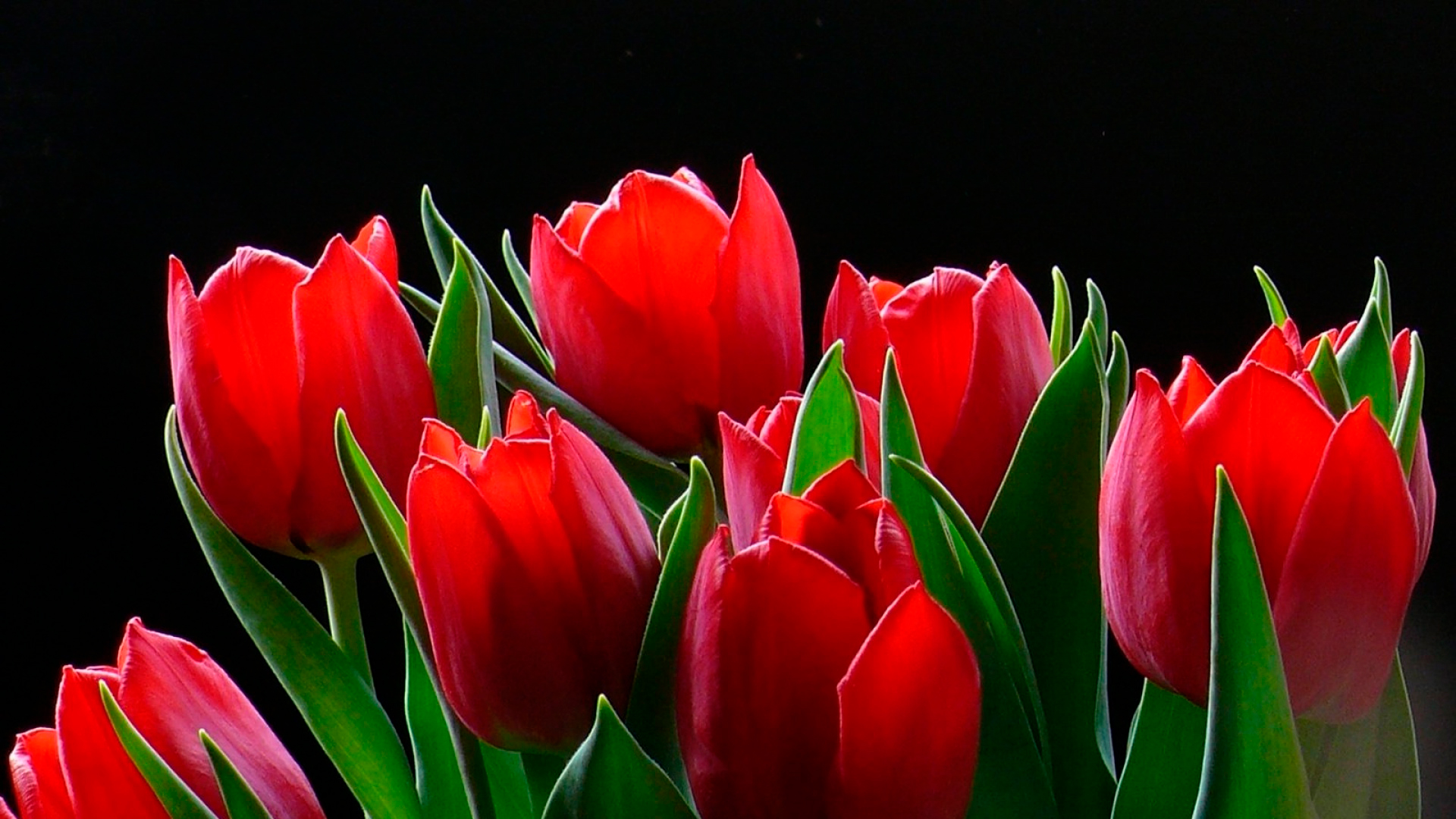 tulip-photo-162