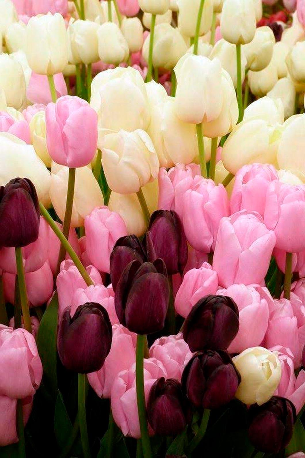 tulip-photo-163