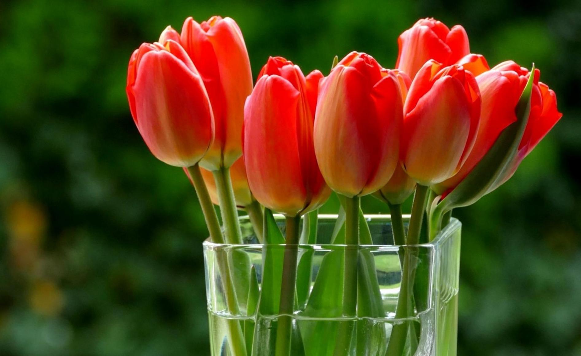 tulip-photo-164