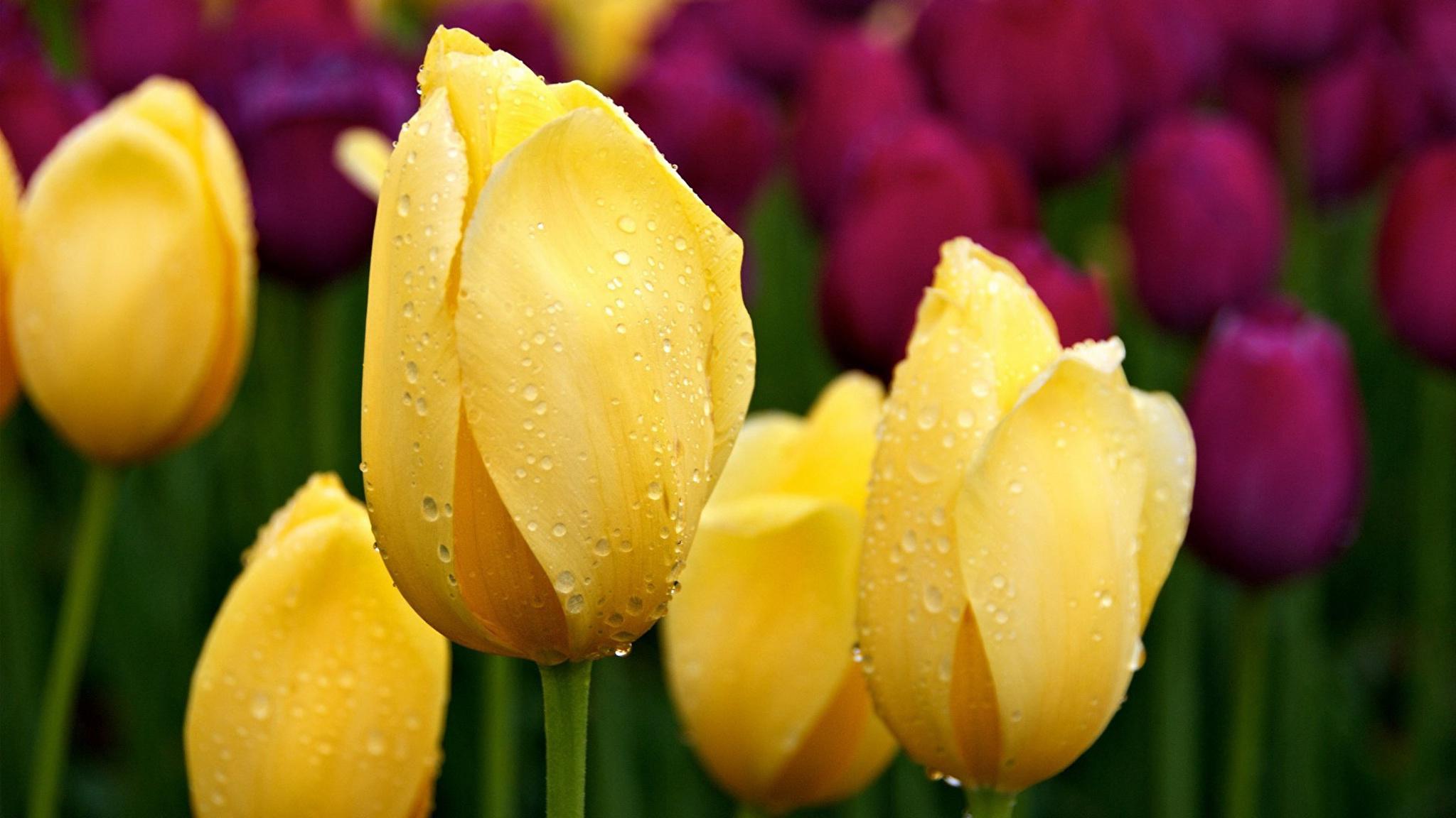 tulip-photo-166
