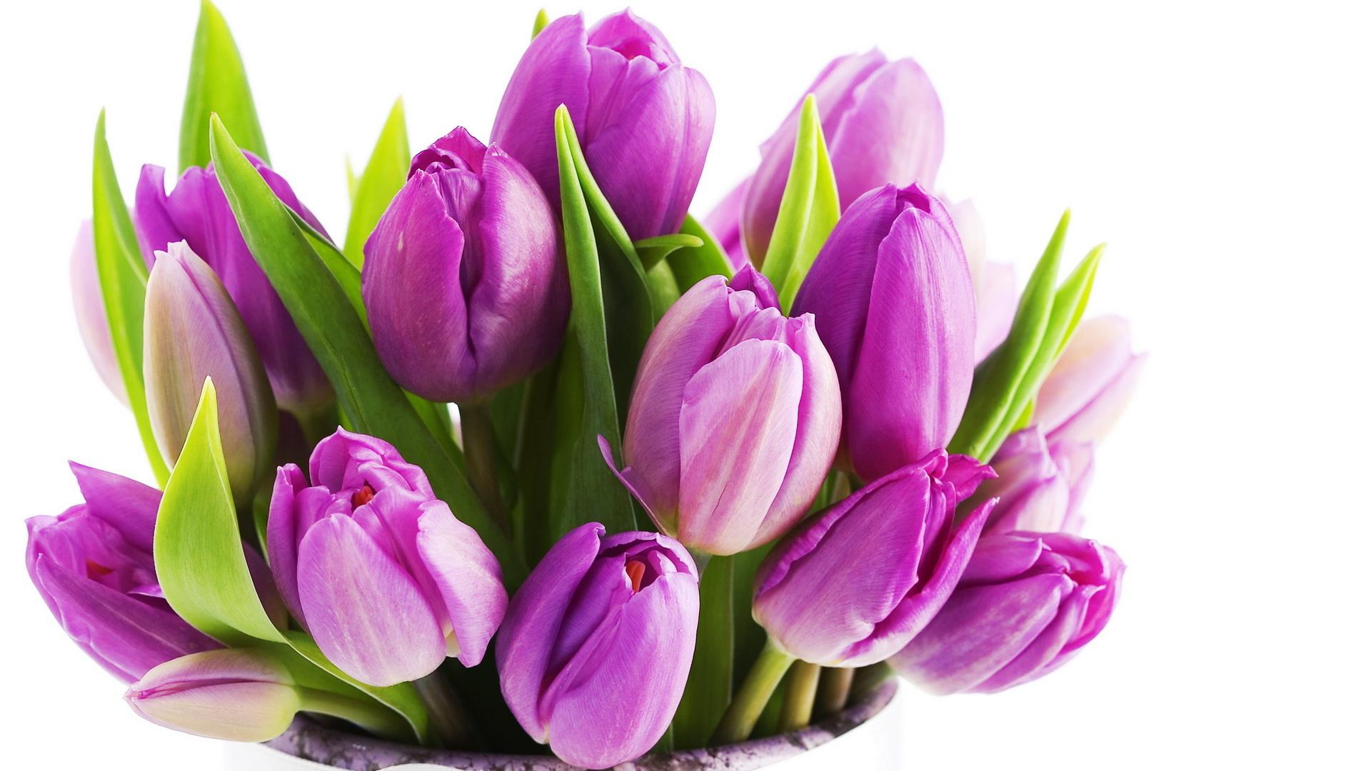 tulip-photo-168