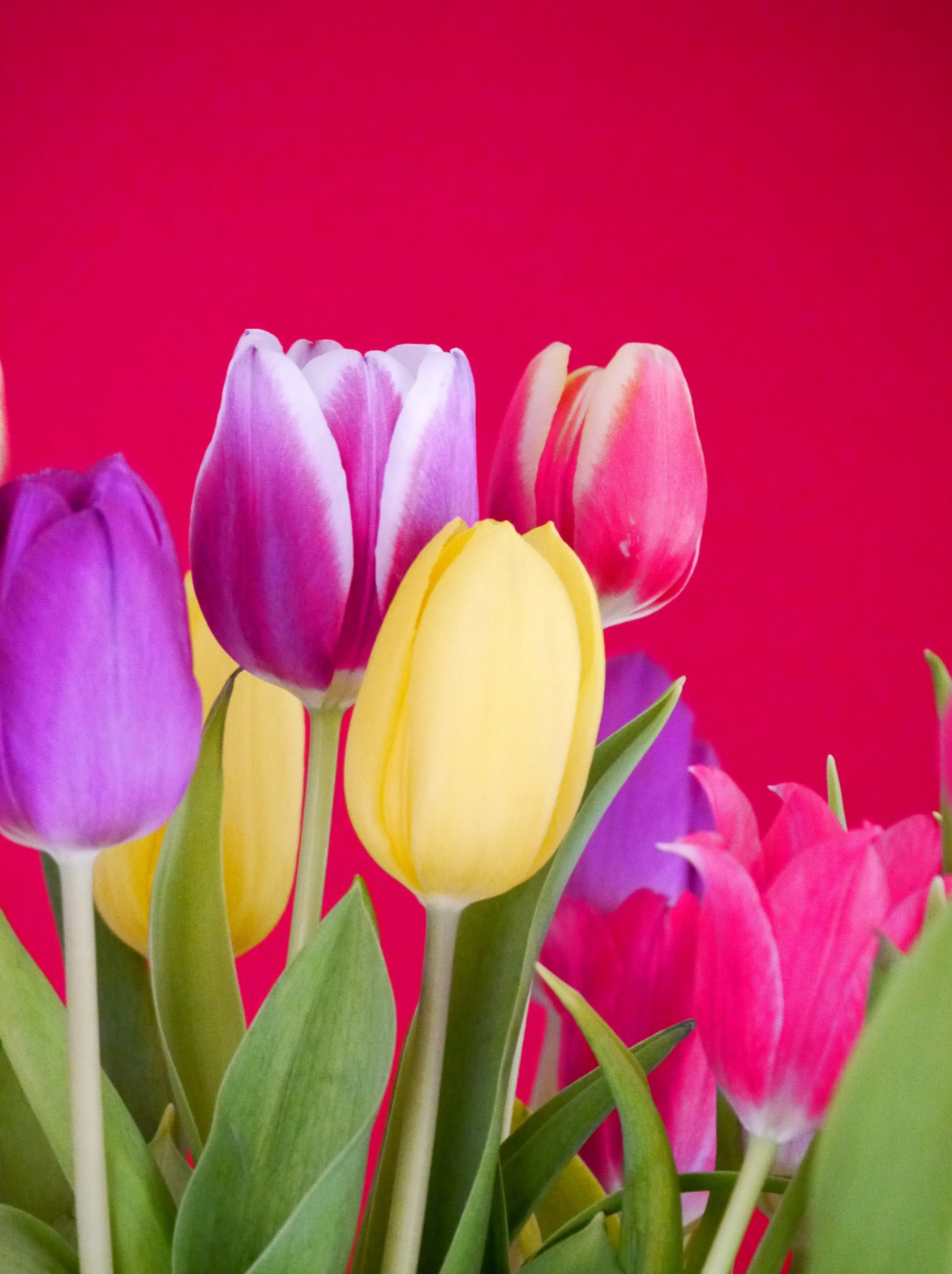 tulip-photo-169