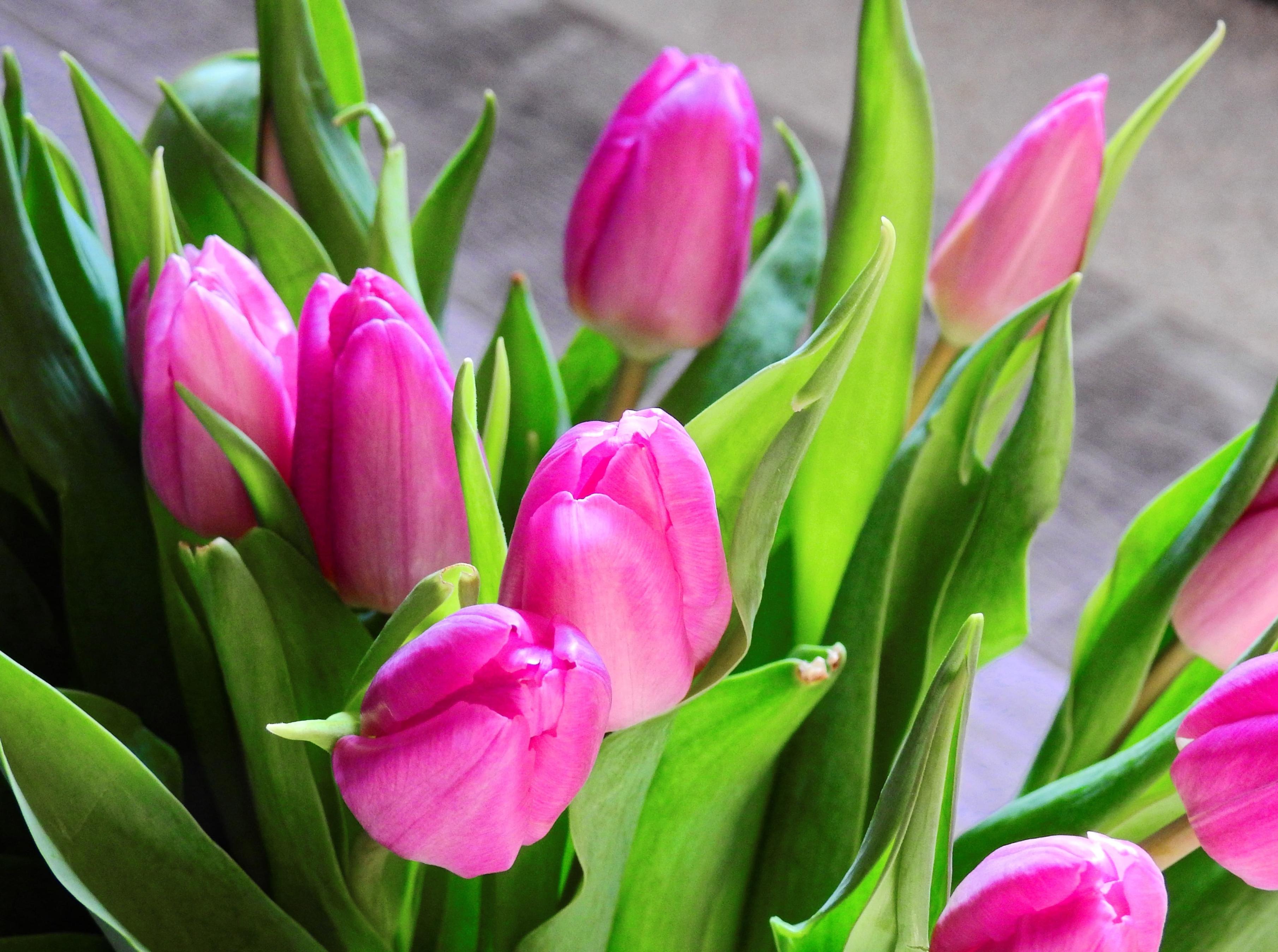 tulip-photo-17
