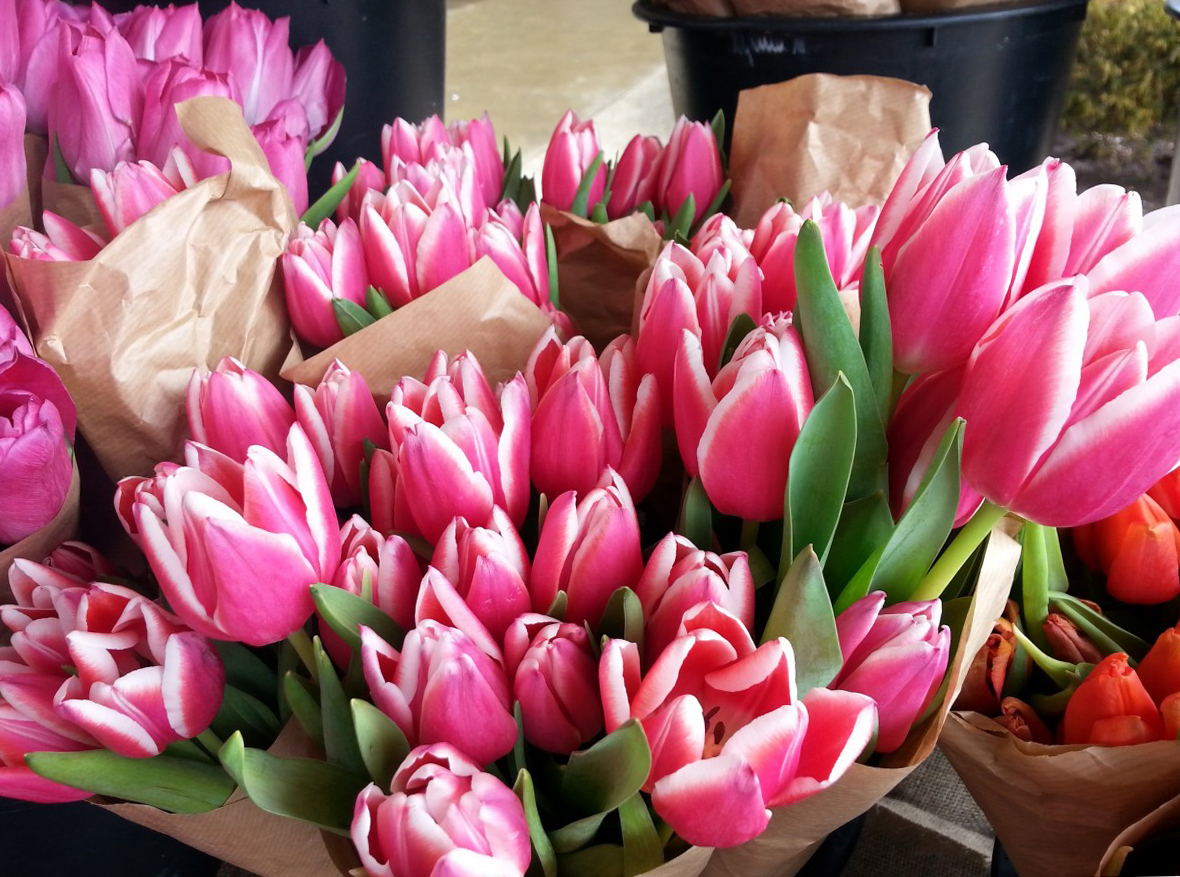 tulip-photo-172