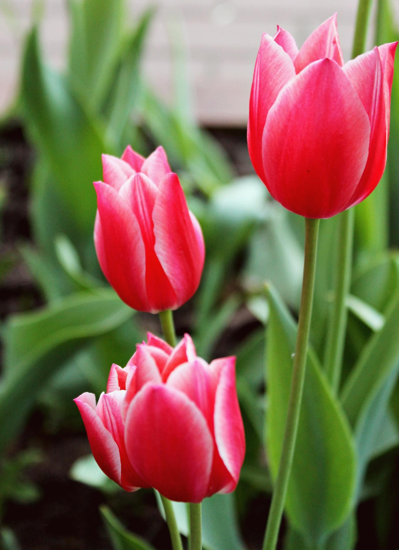 tulip-photo-173