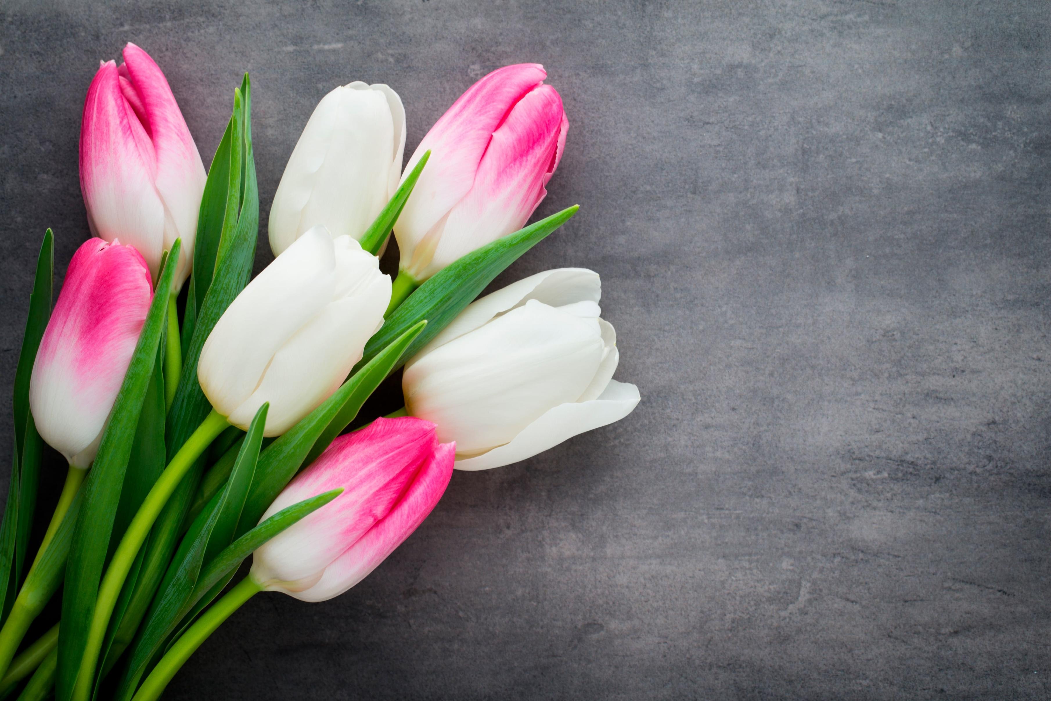 tulip-photo-18
