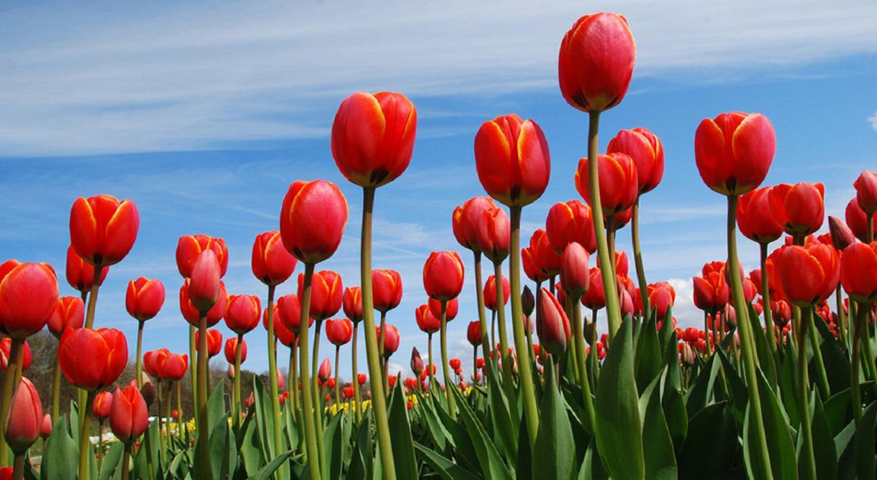 tulip-photo-181