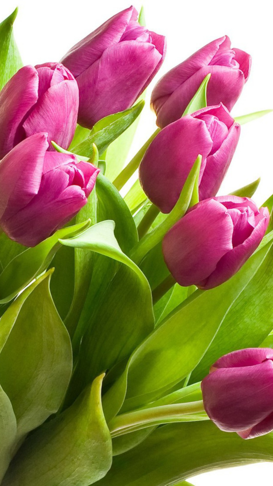 tulip-photo-184