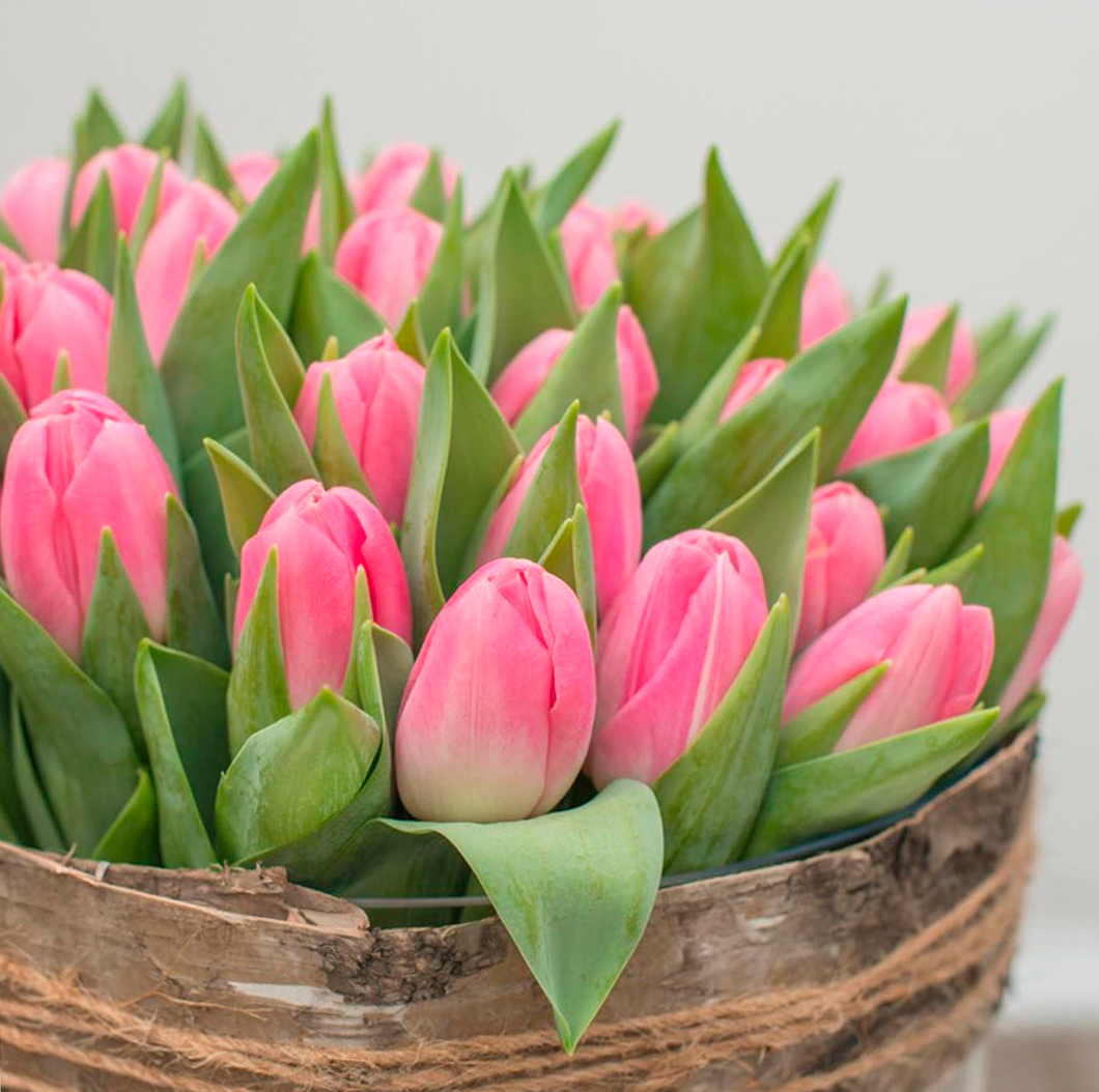 tulip-photo-187