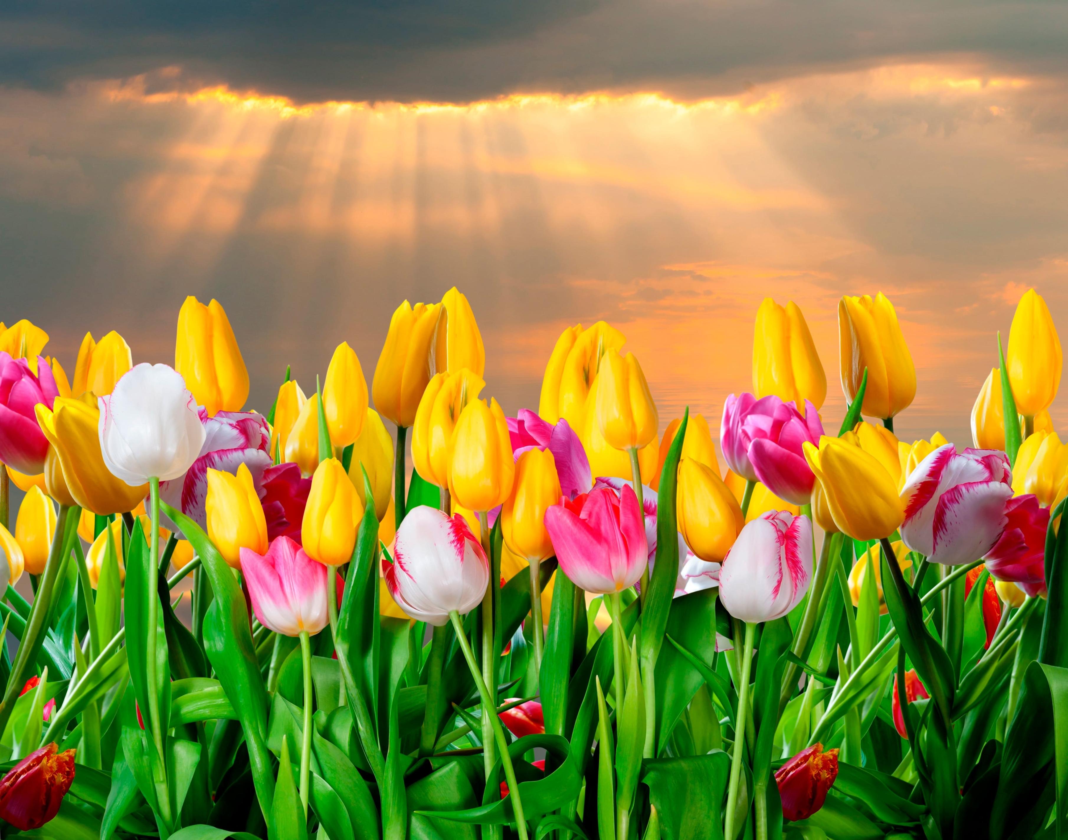 tulip-photo-19