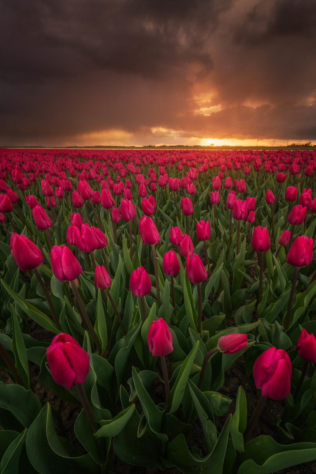 tulip-photo-194