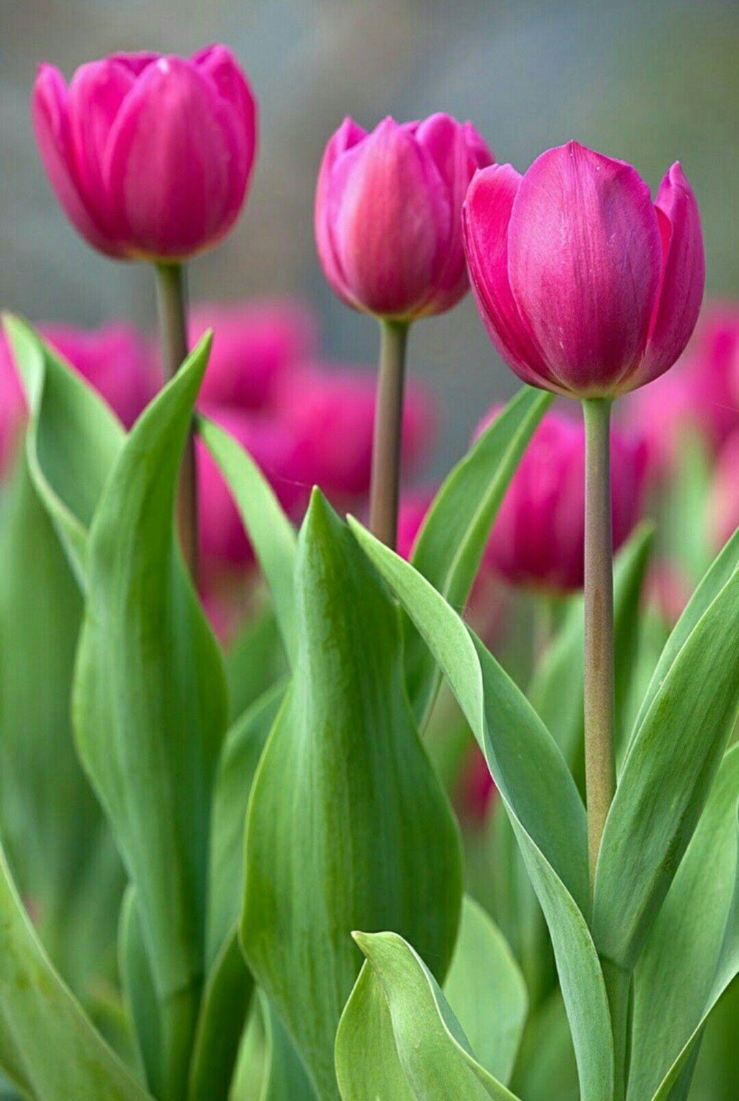 tulip-photo-198