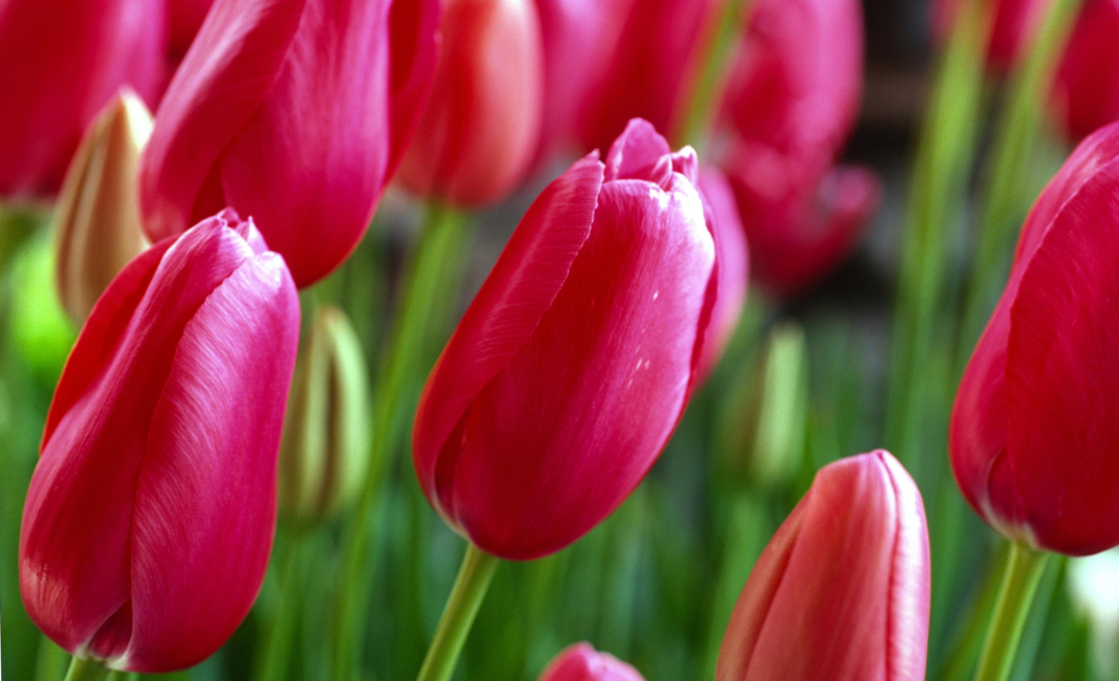 tulip-photo-20
