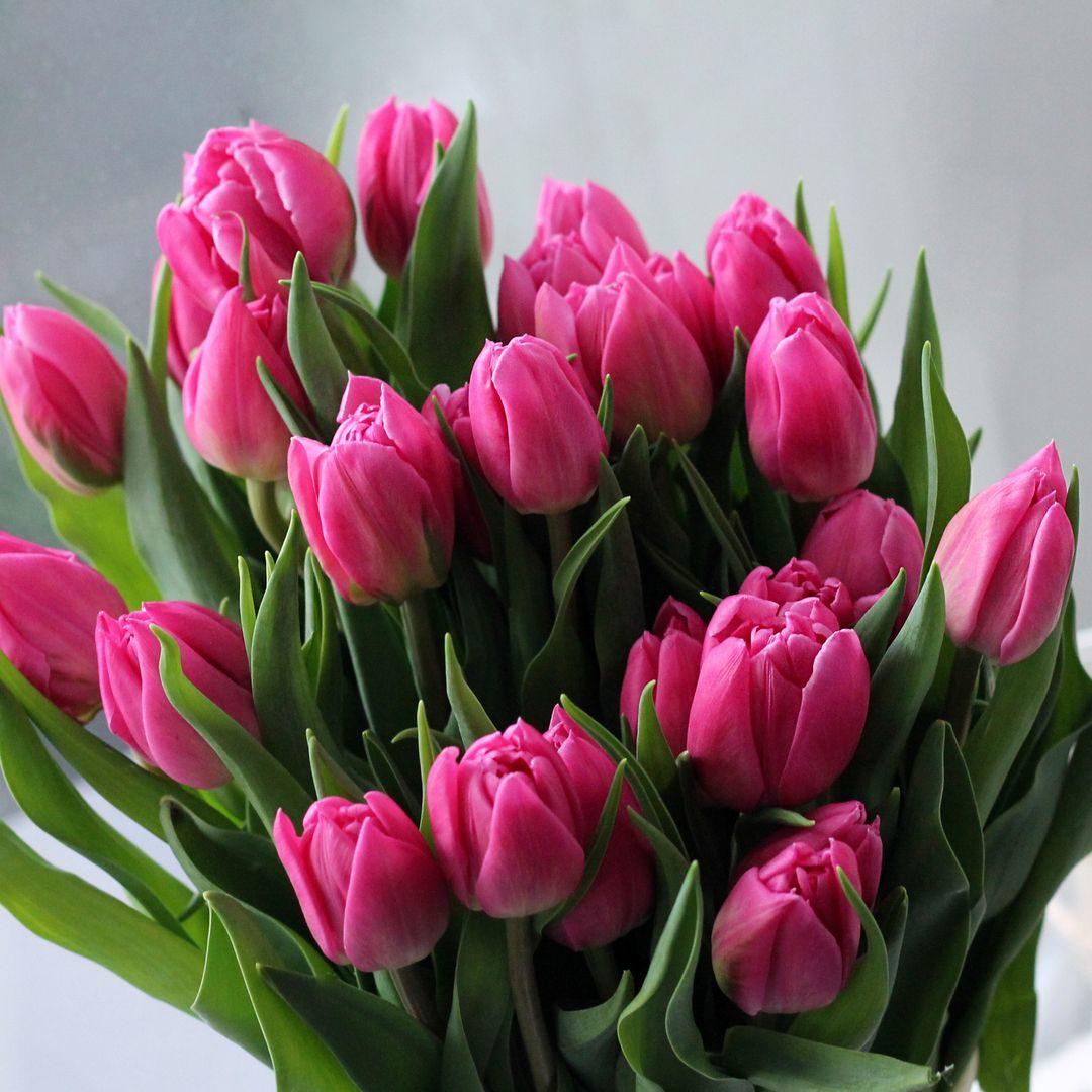 tulip-photo-200
