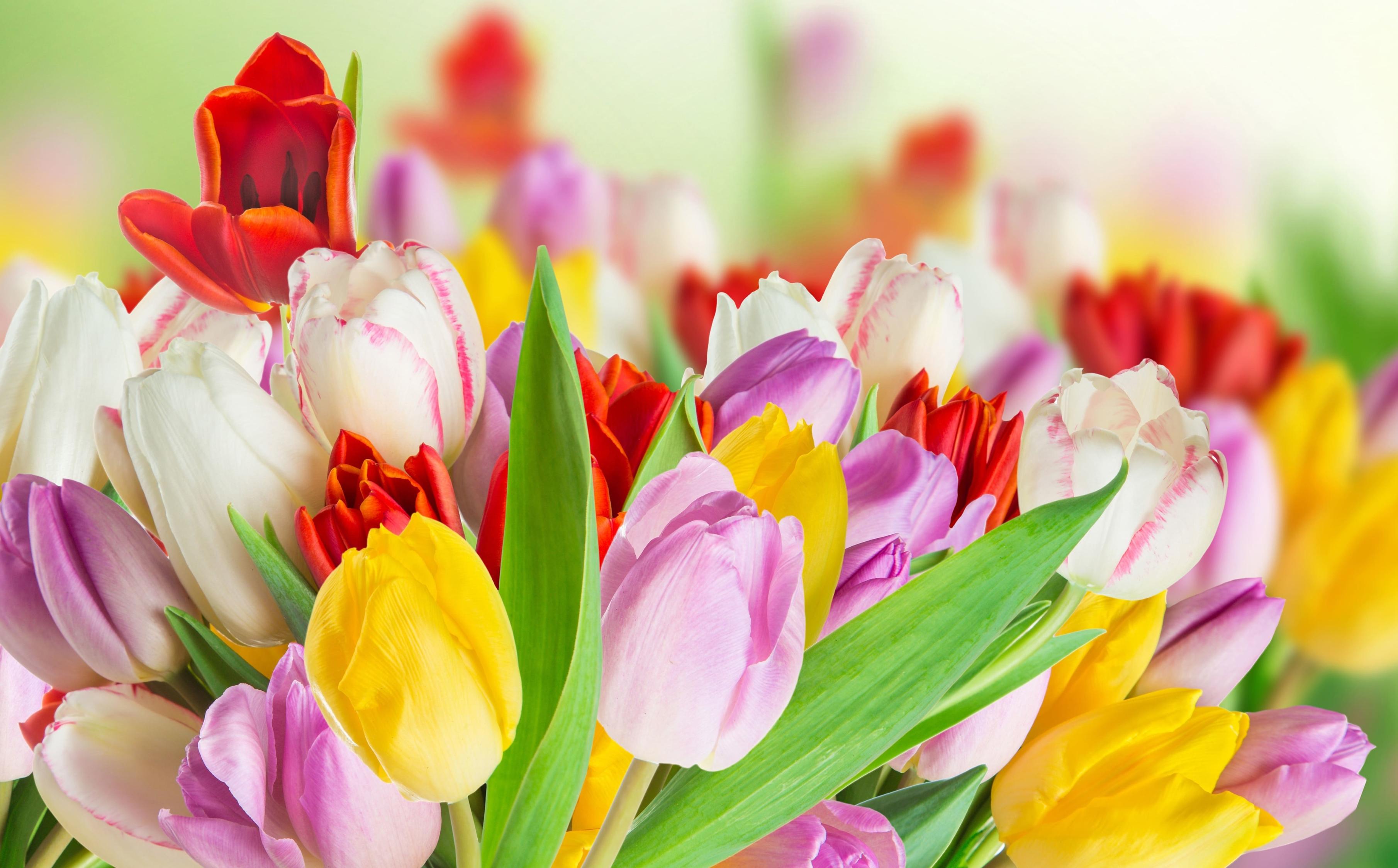 tulip-photo-21