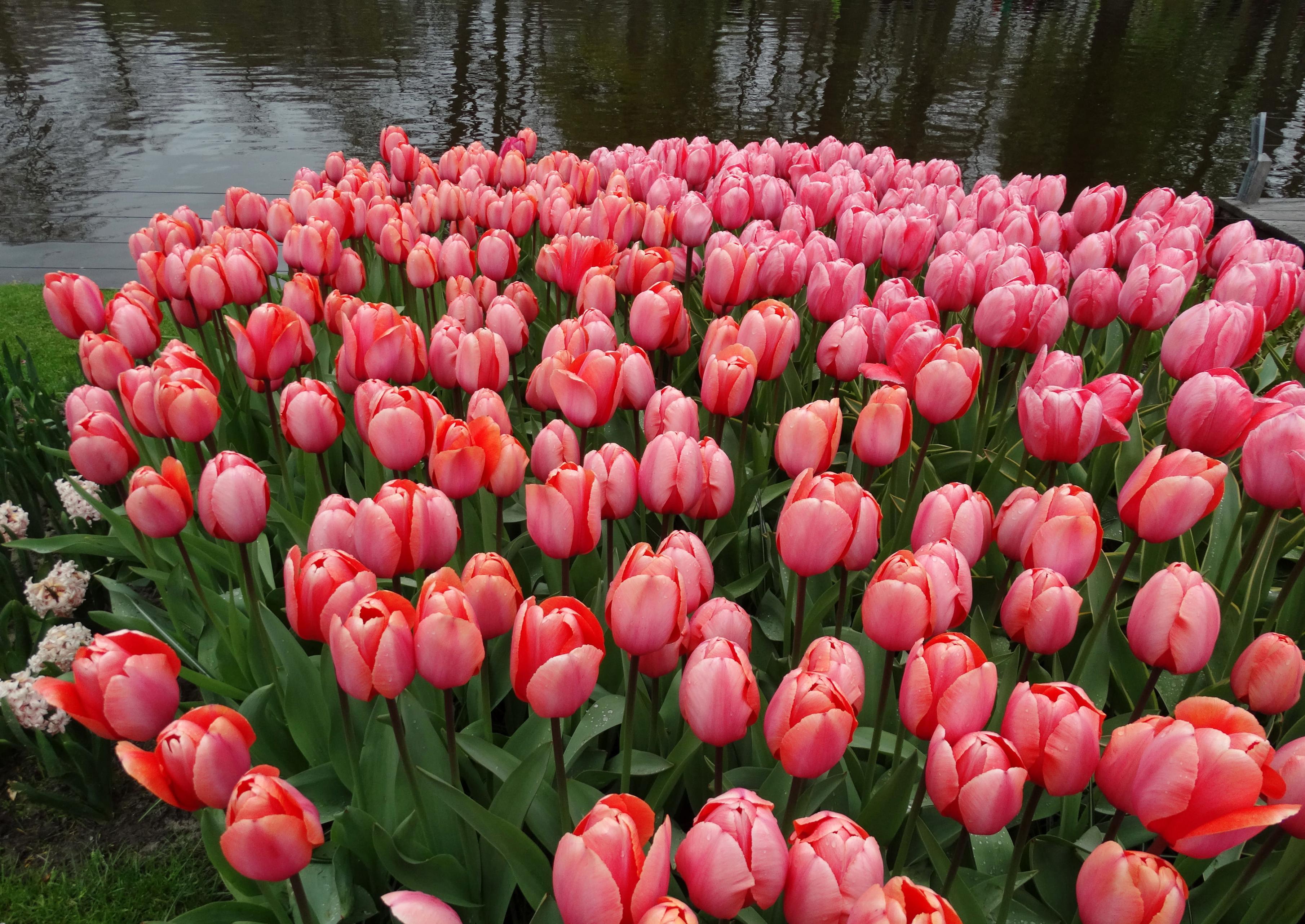 tulip-photo-25