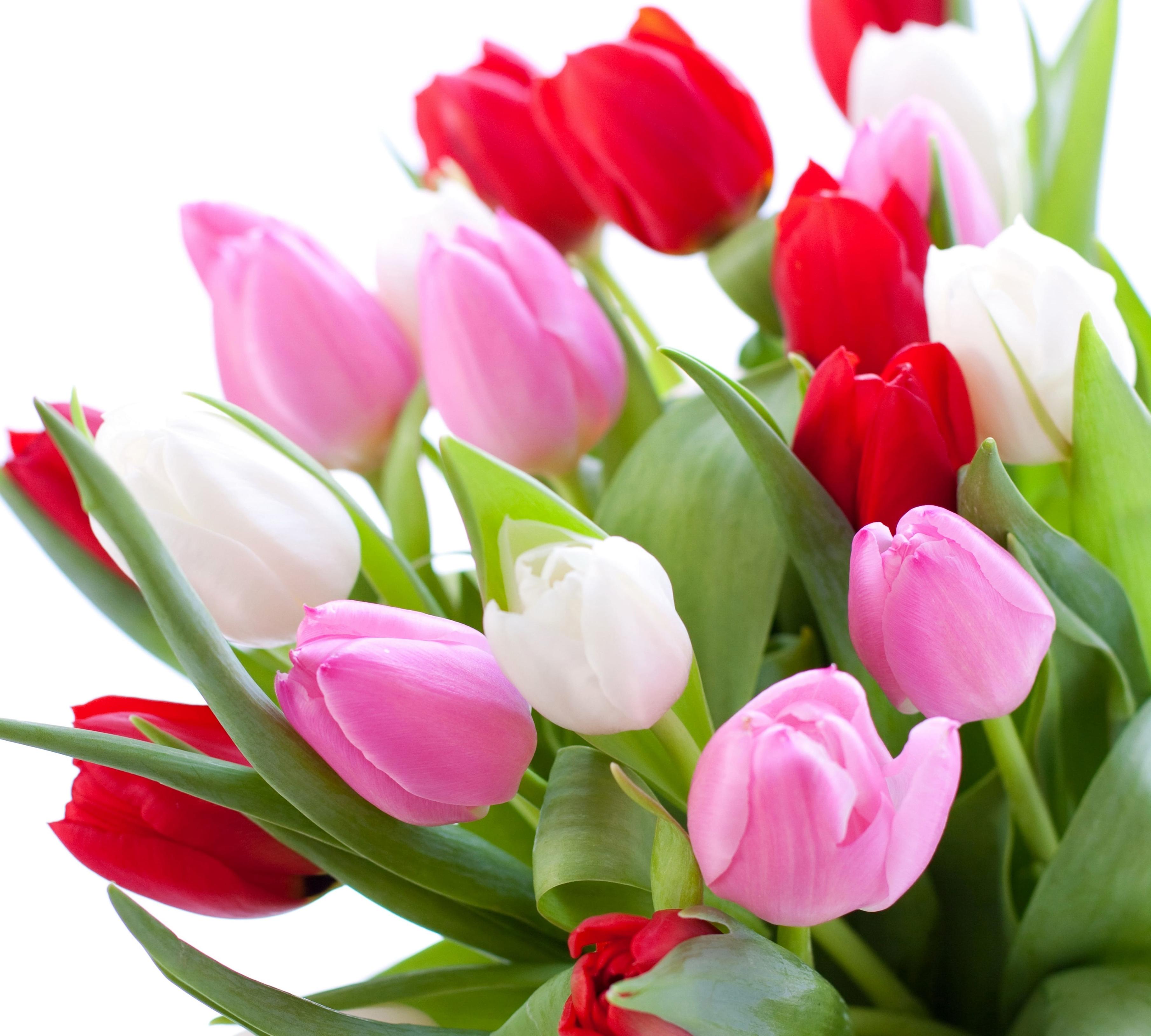 tulip-photo-28