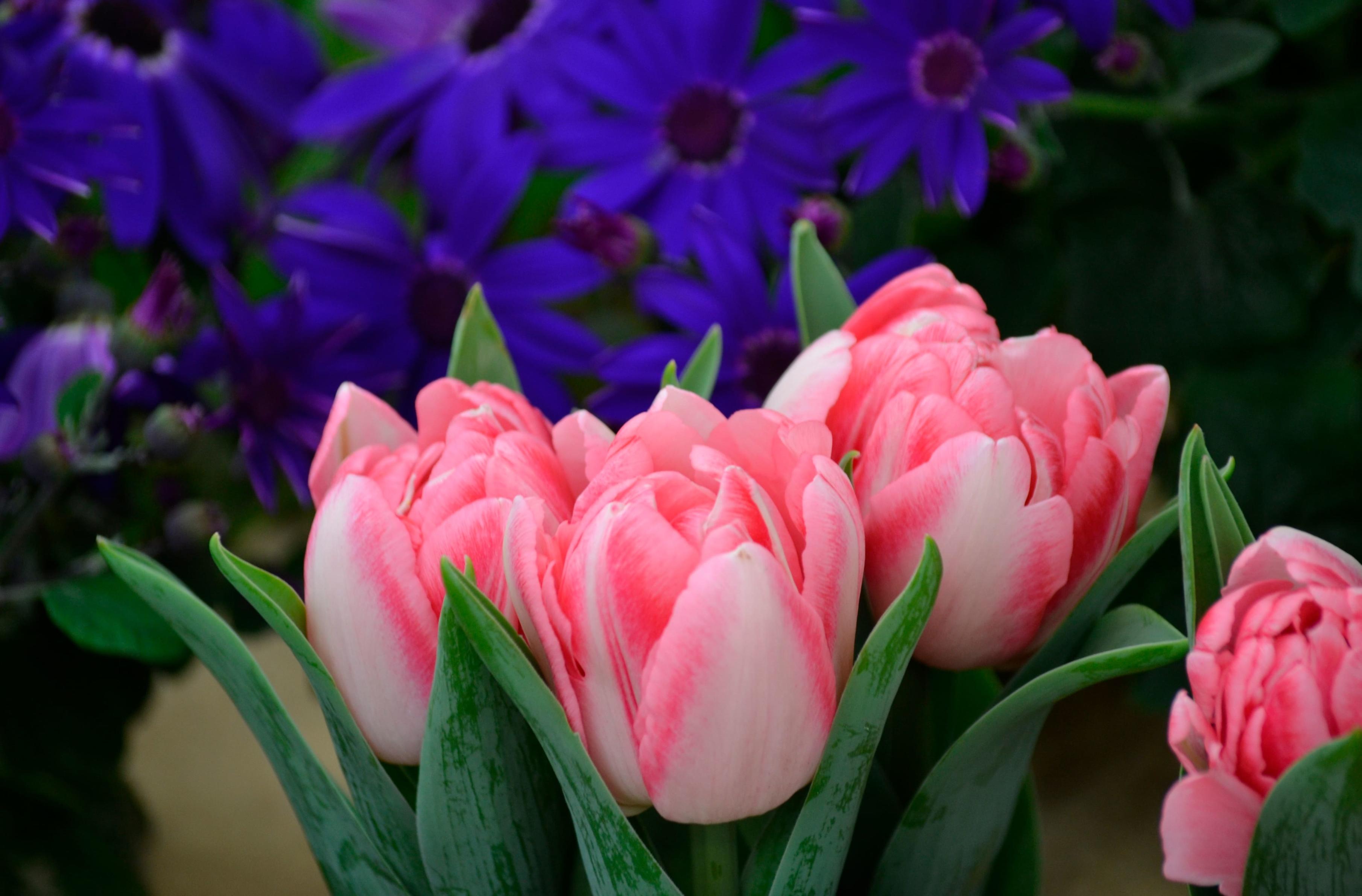 tulip-photo-29