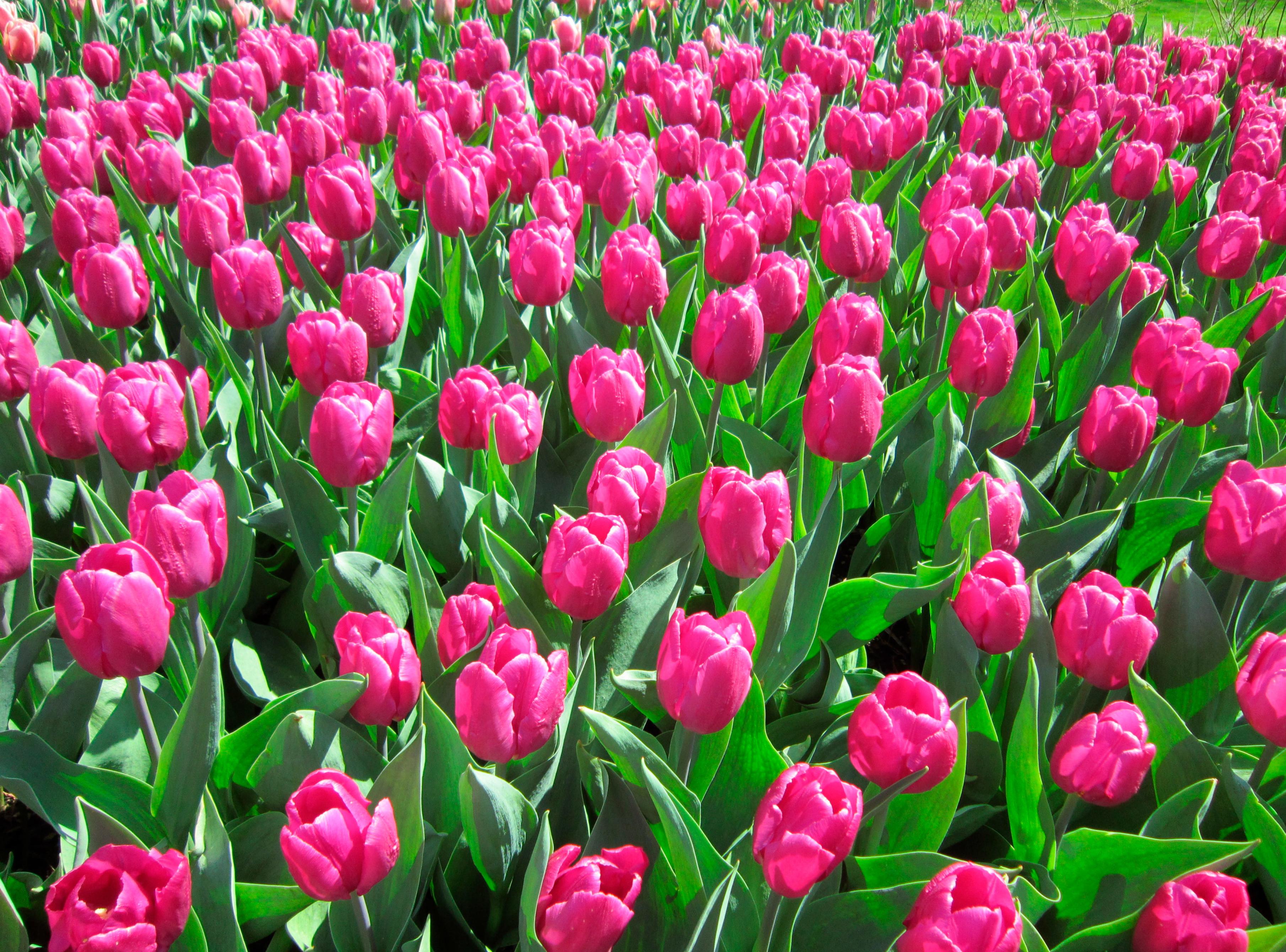 tulip-photo-3
