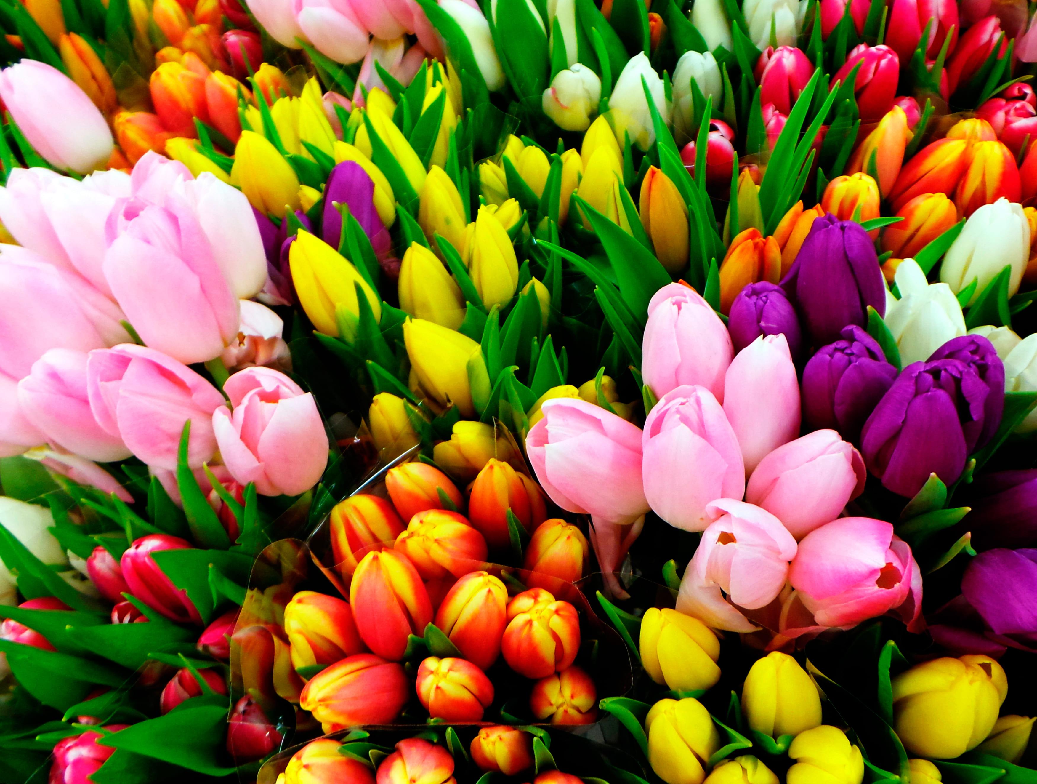 tulip-photo-31