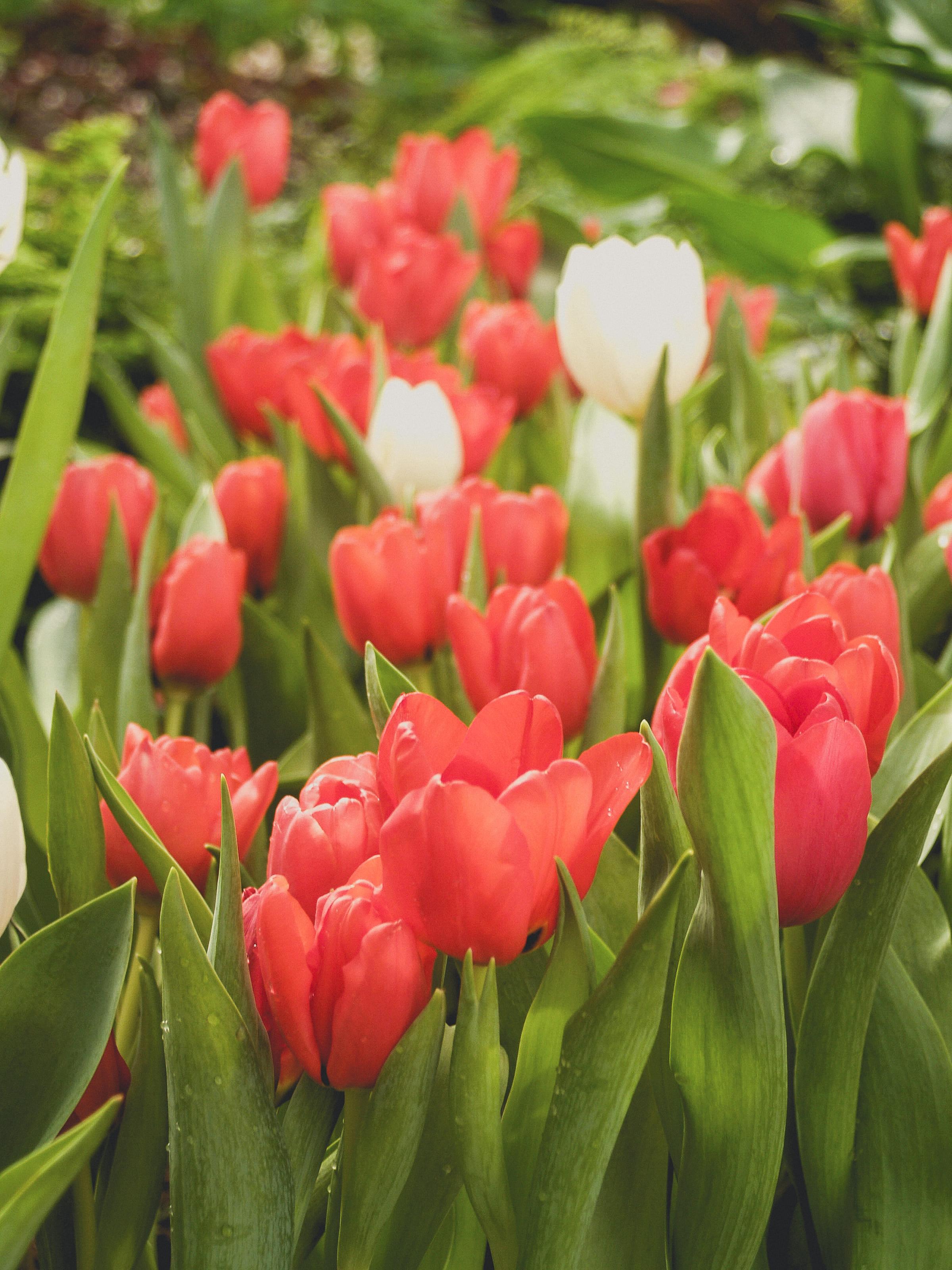 tulip-photo-32