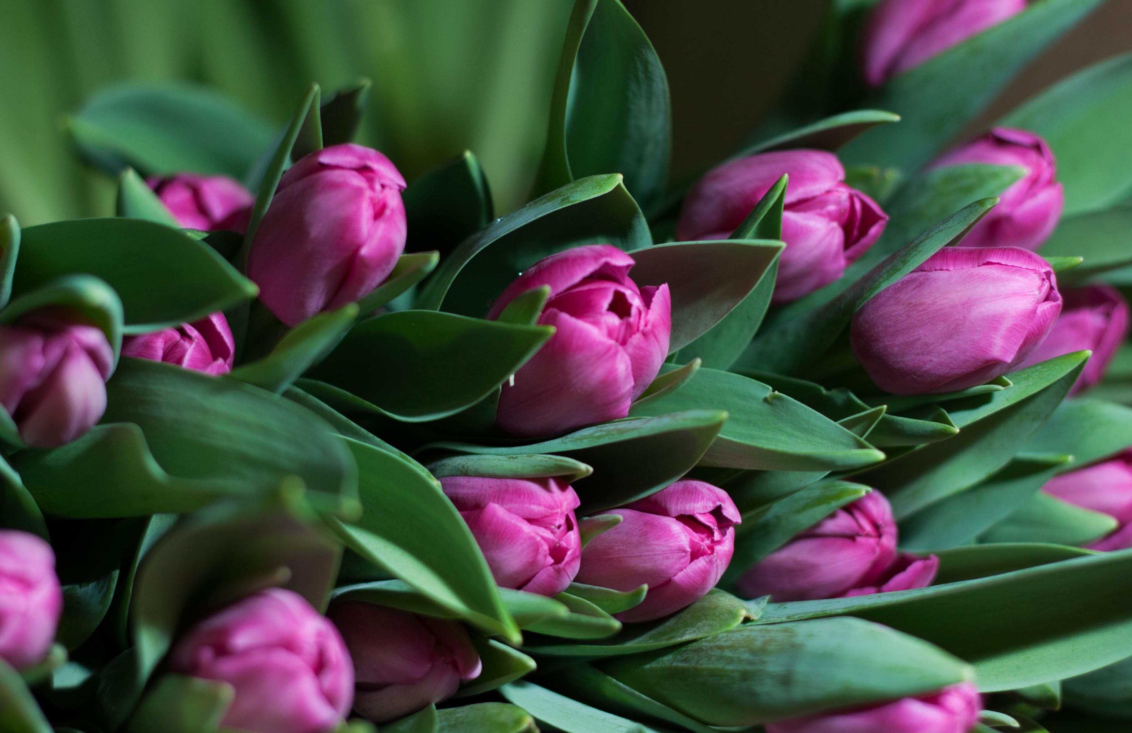 tulip-photo-33