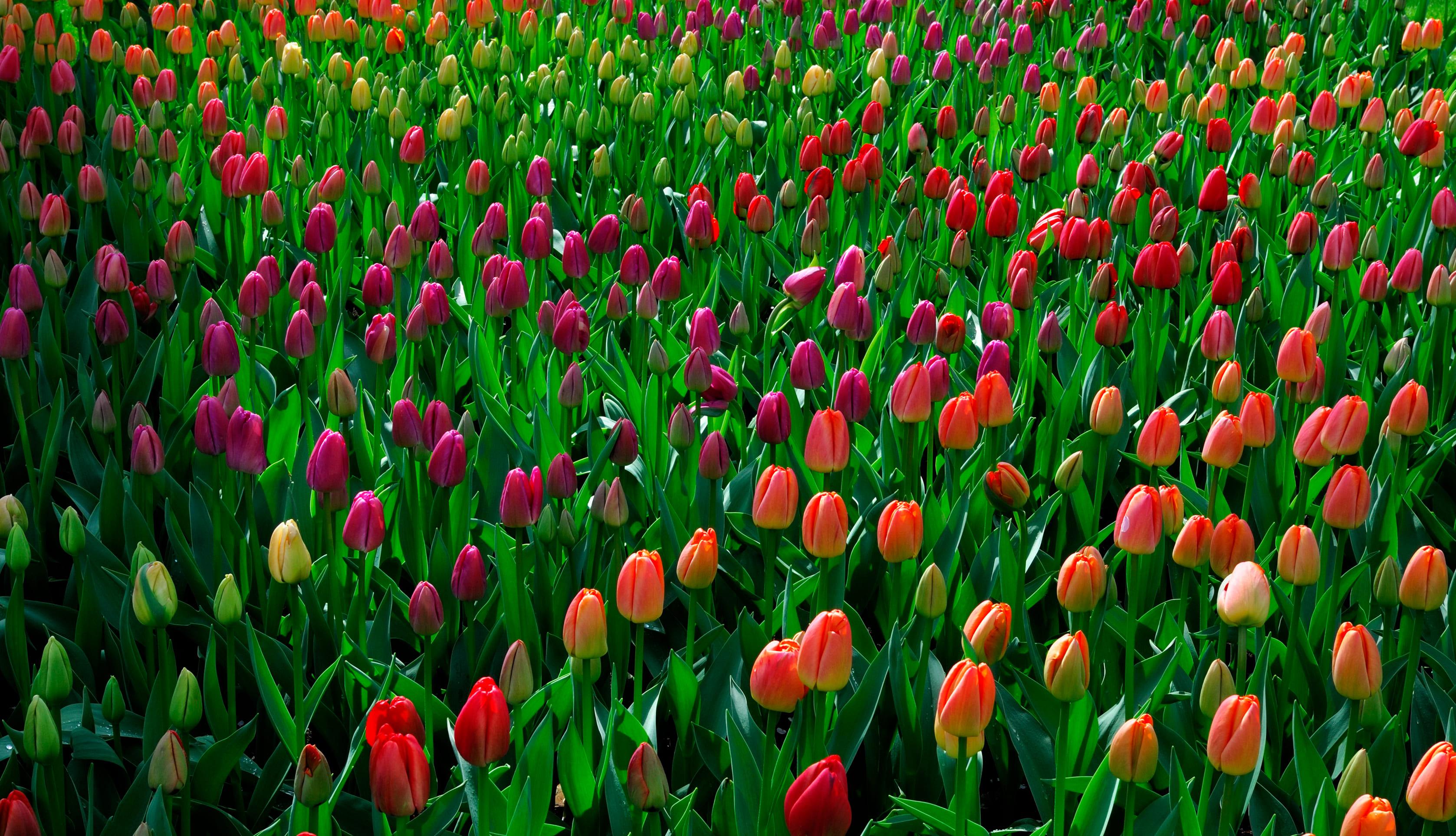 tulip-photo-35