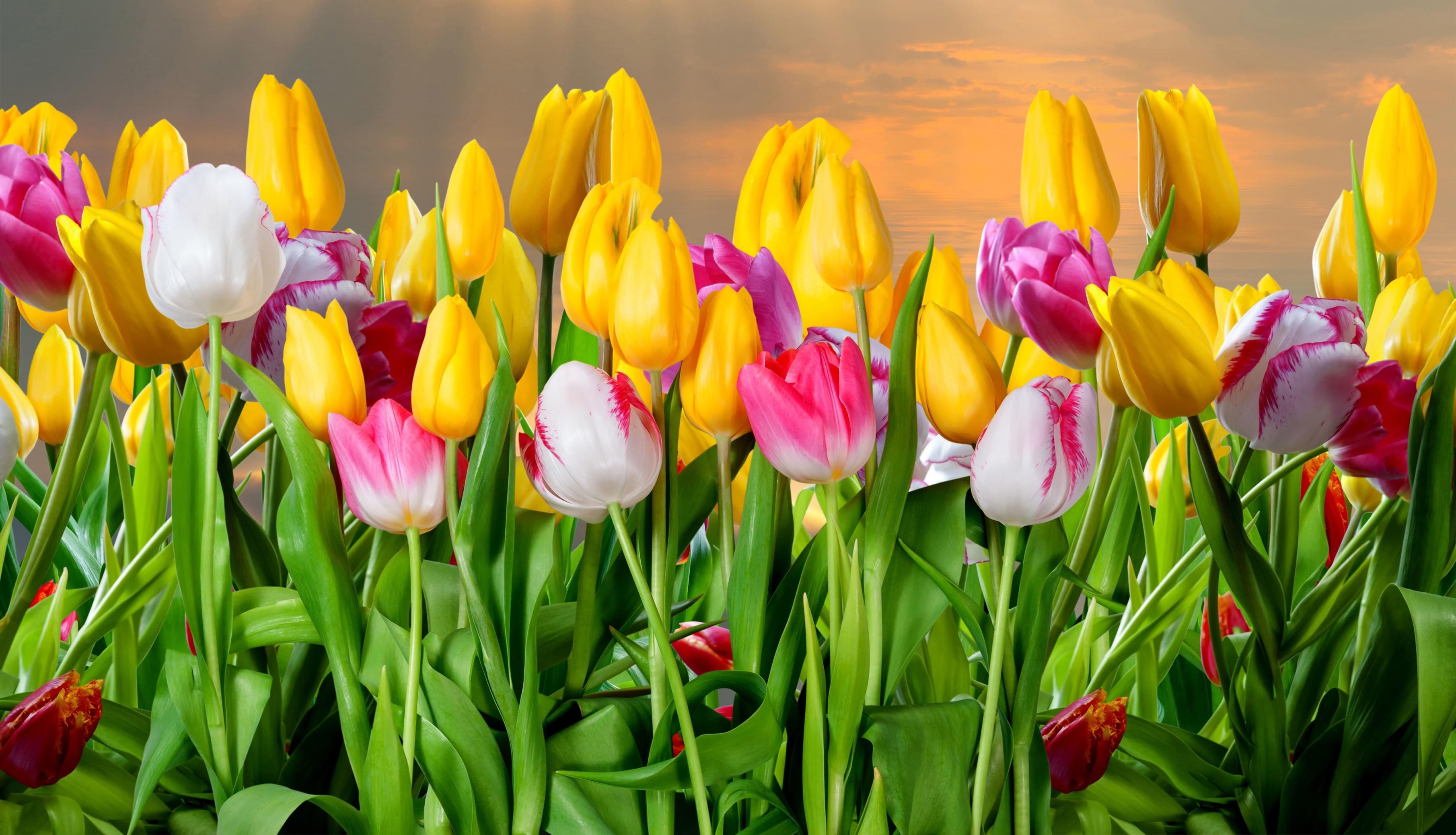 tulip-photo-36