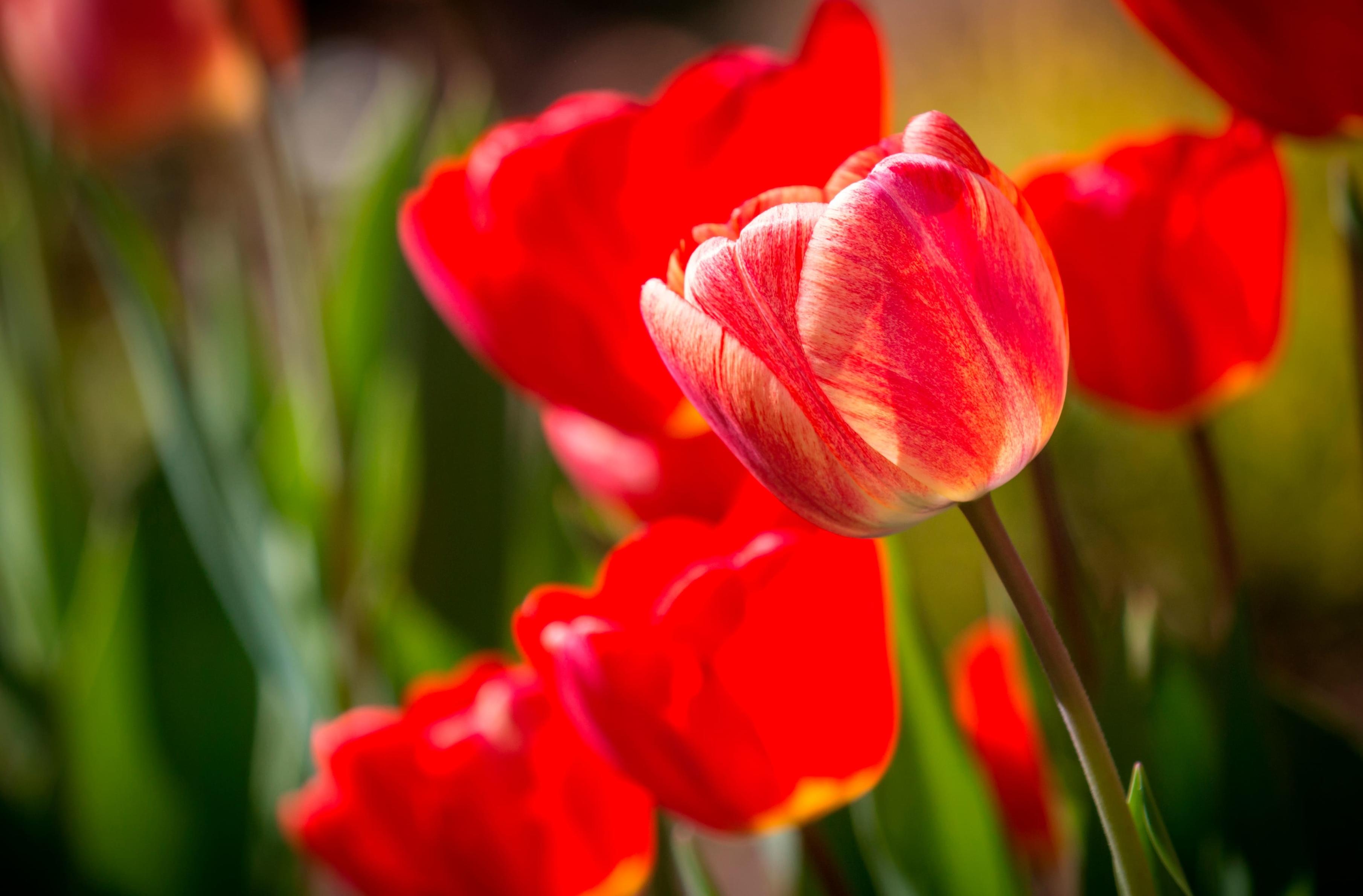 tulip-photo-38