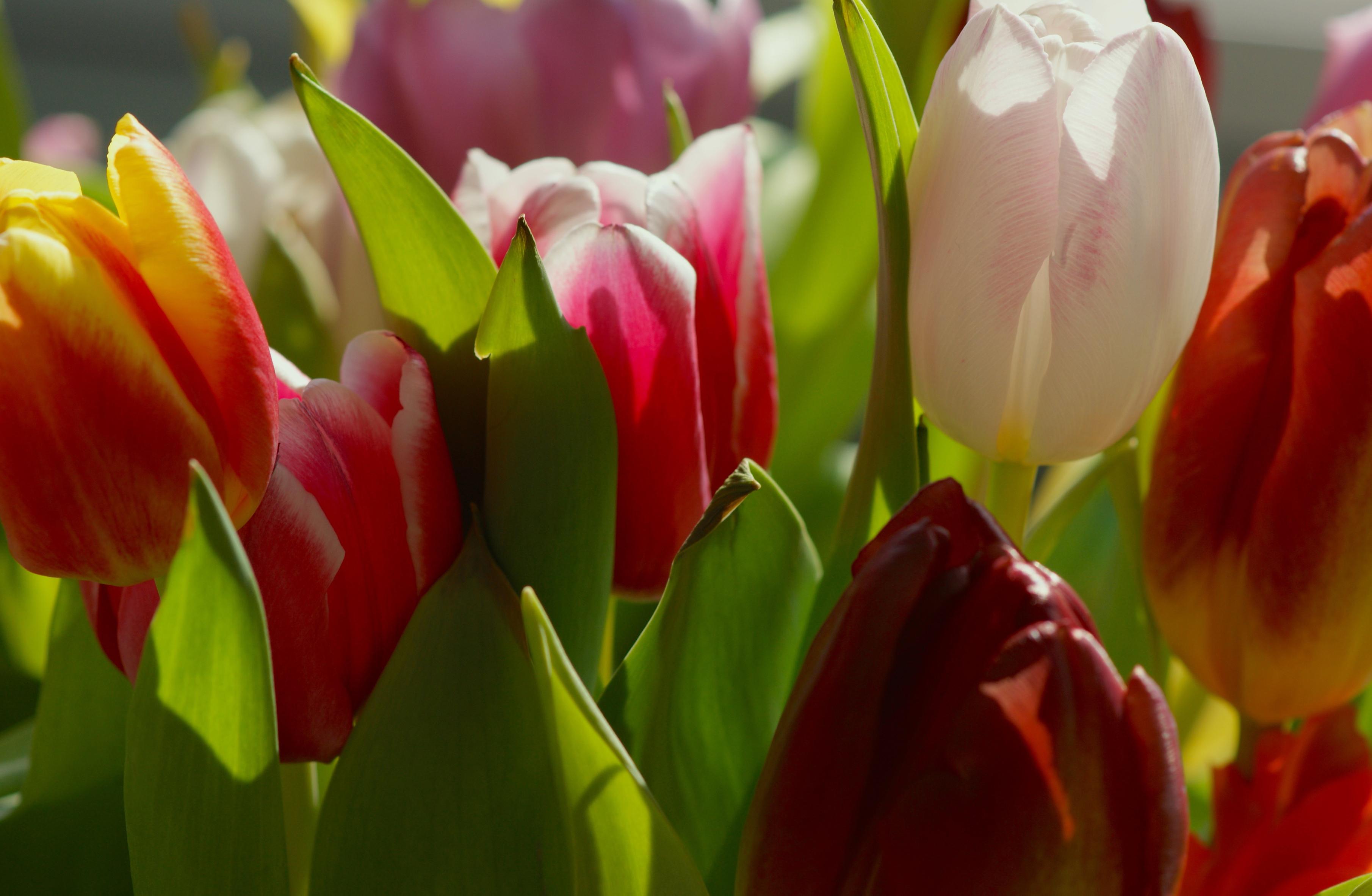 tulip-photo-41