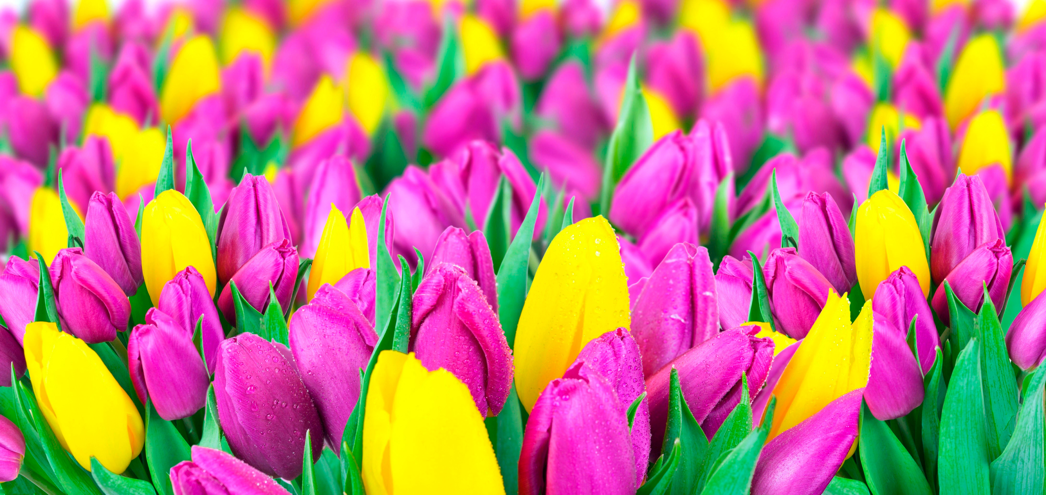 tulip-photo-42
