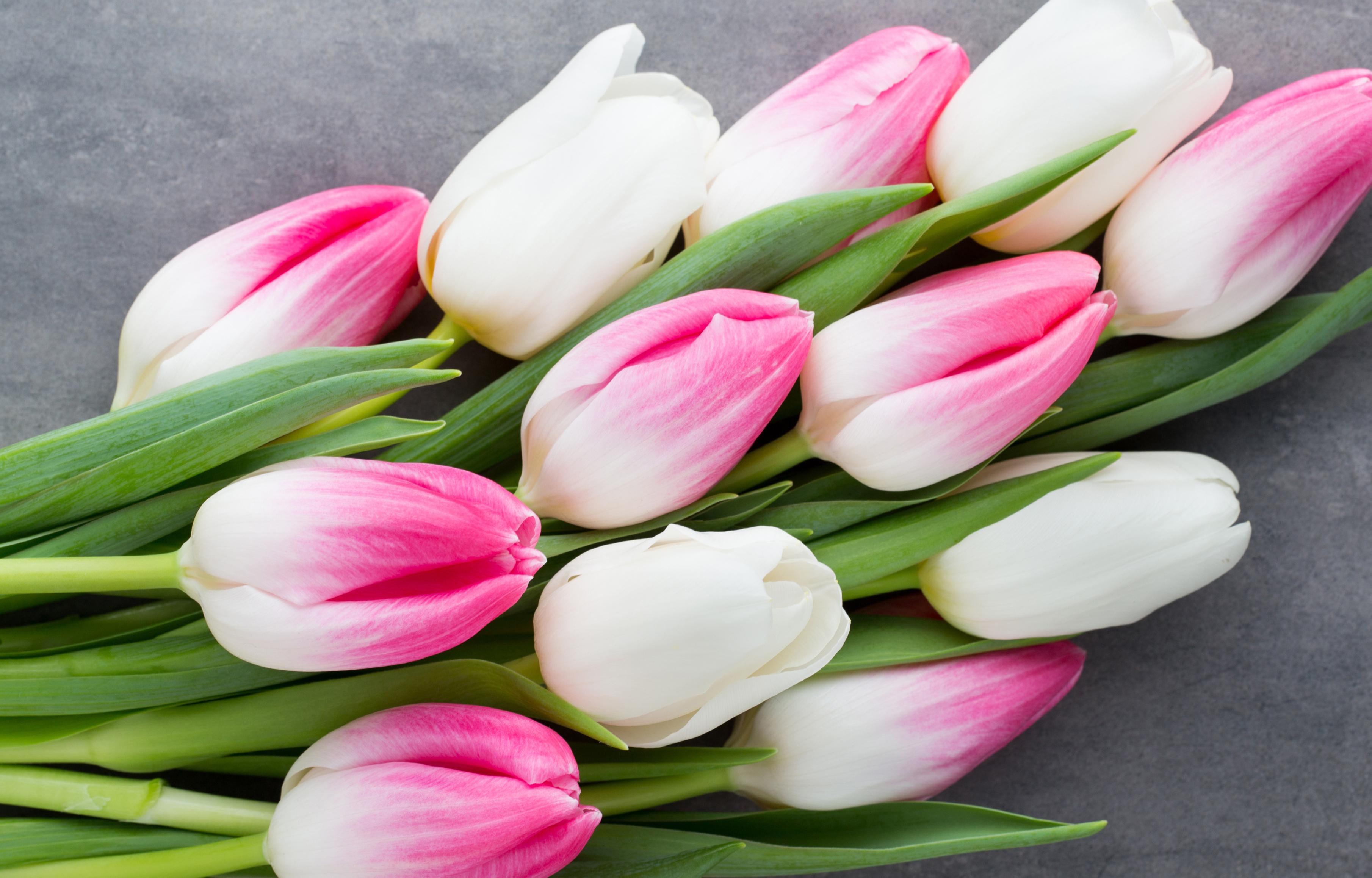 tulip-photo-44