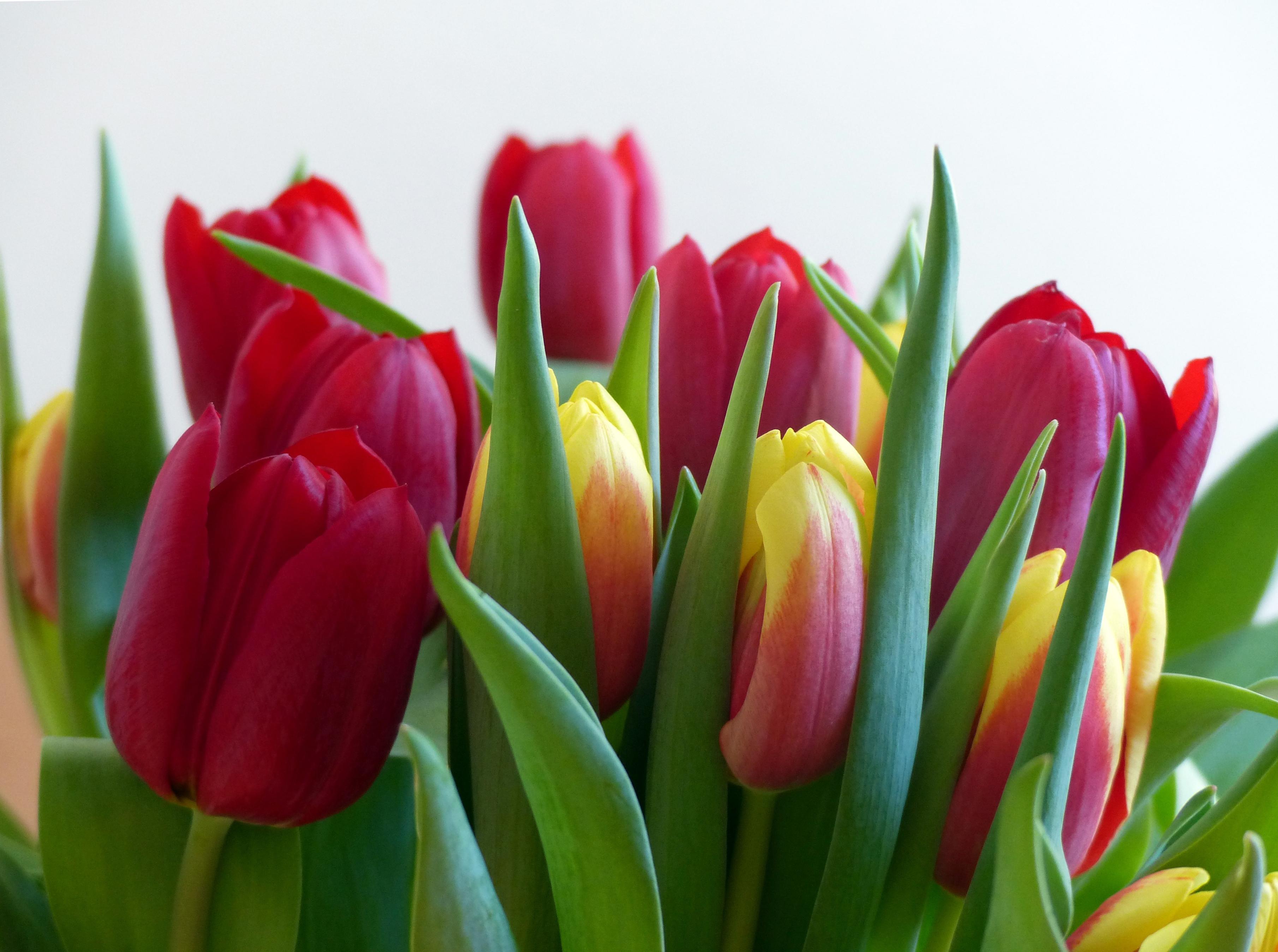 tulip-photo-46