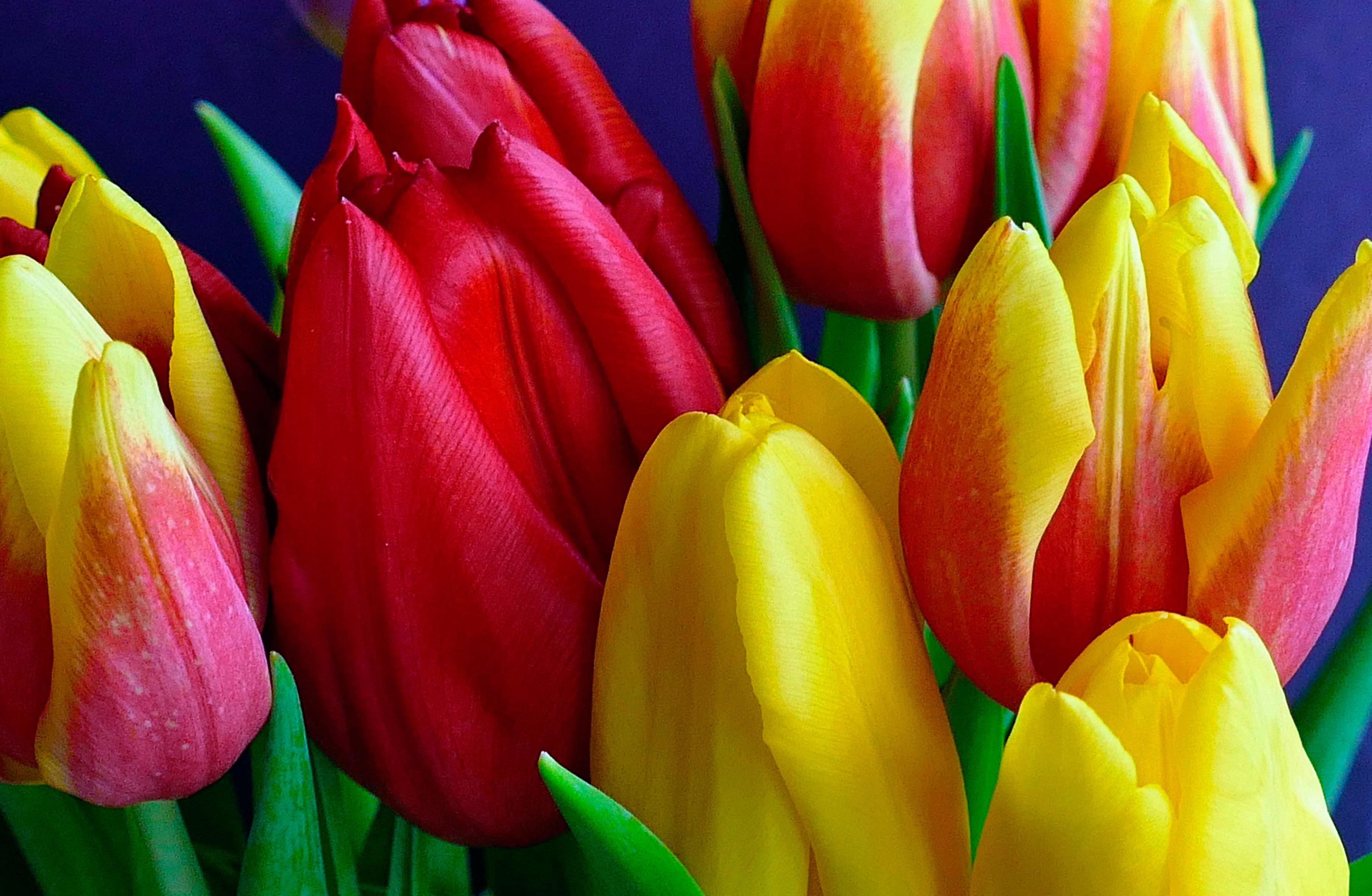 tulip-photo-48