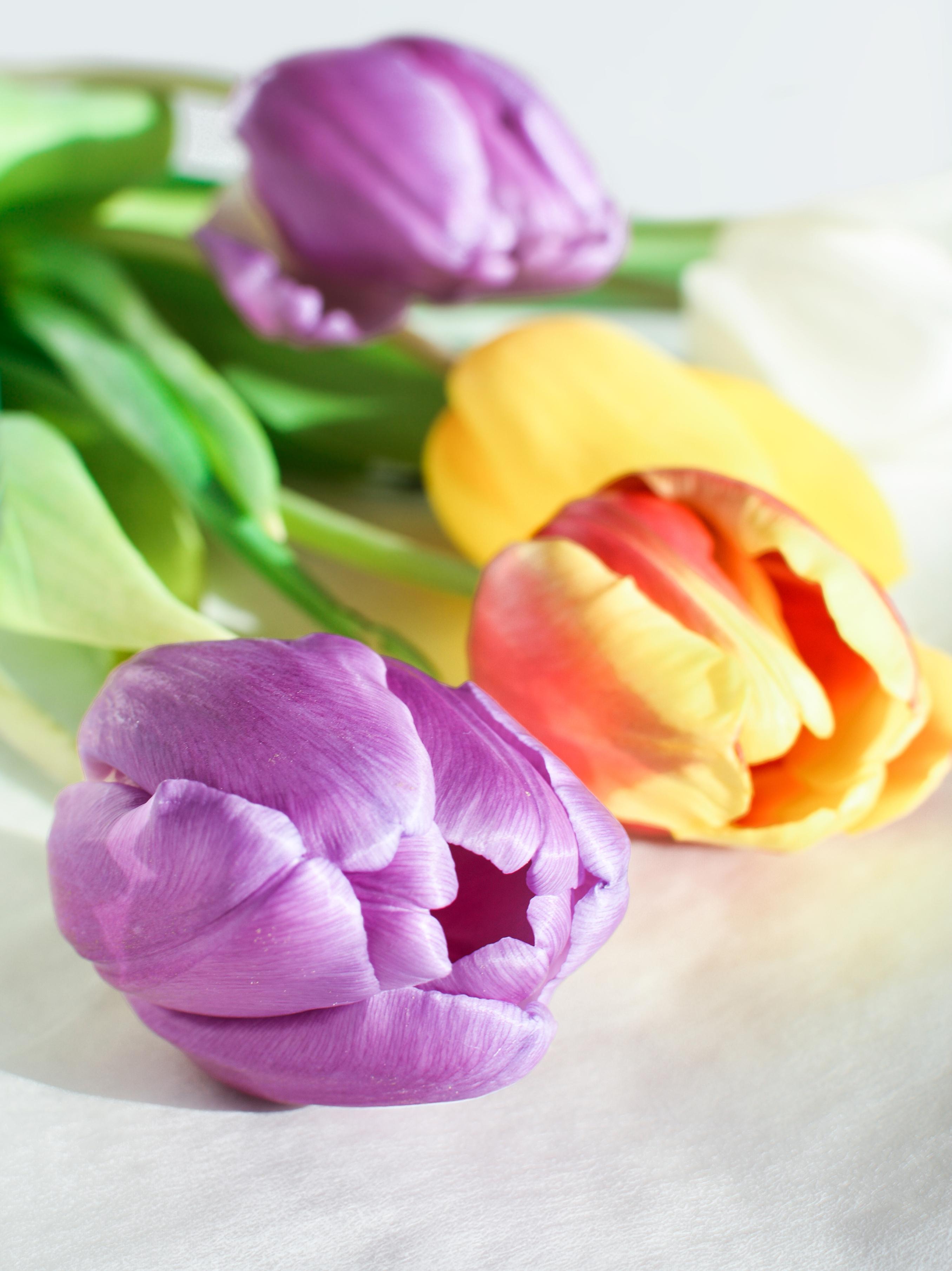 tulip-photo-49