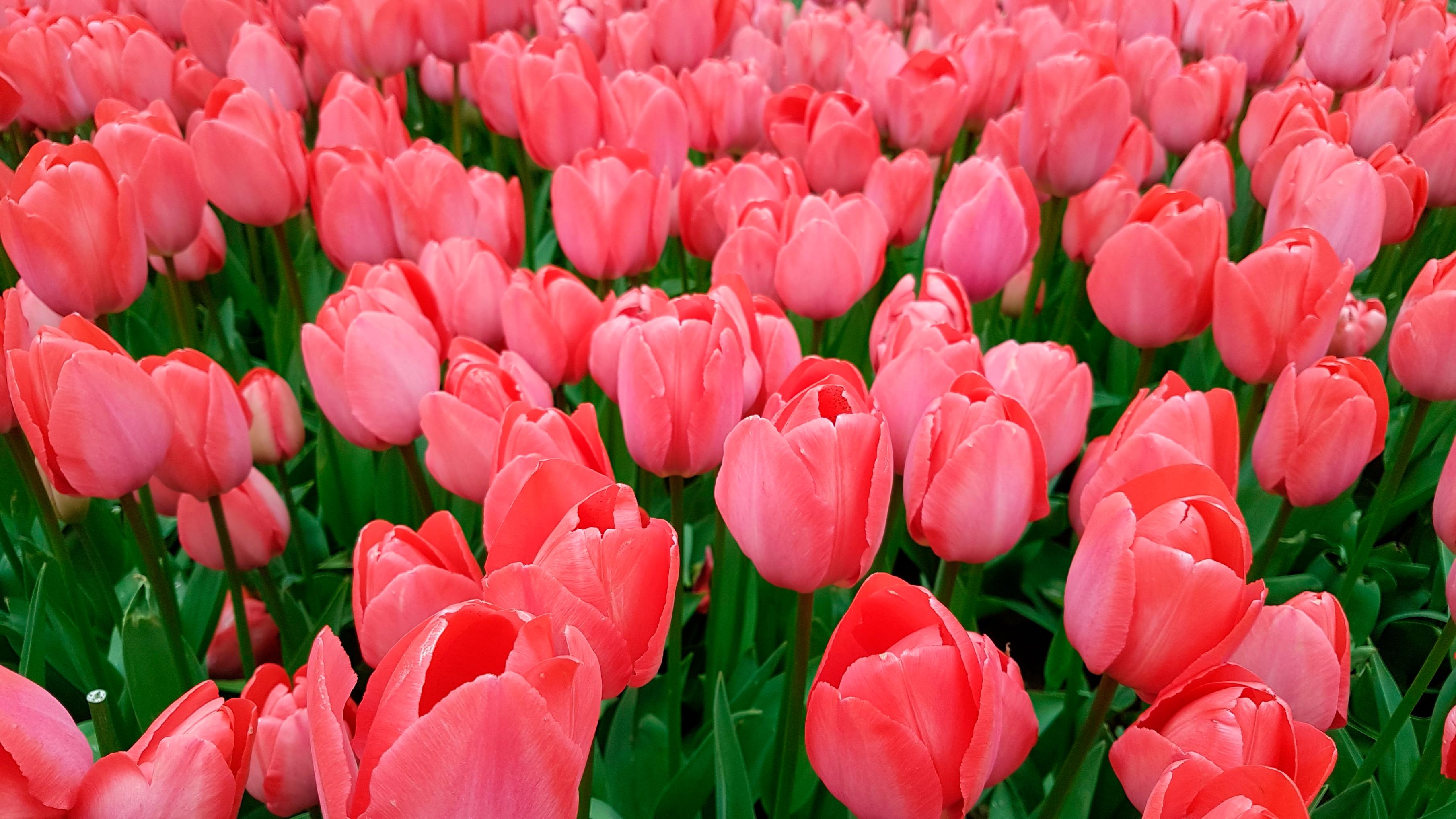 tulip-photo-50