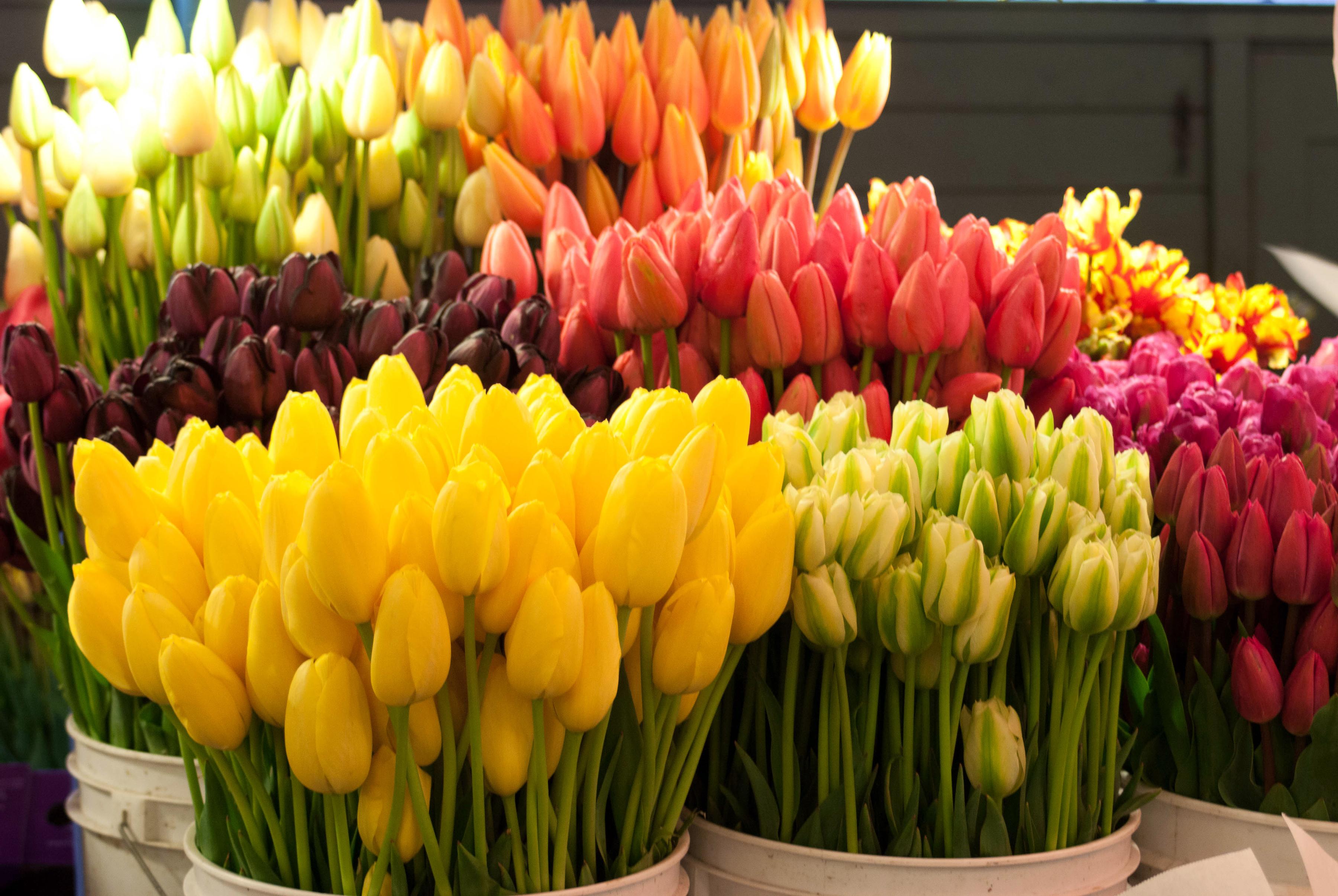 tulip-photo-52