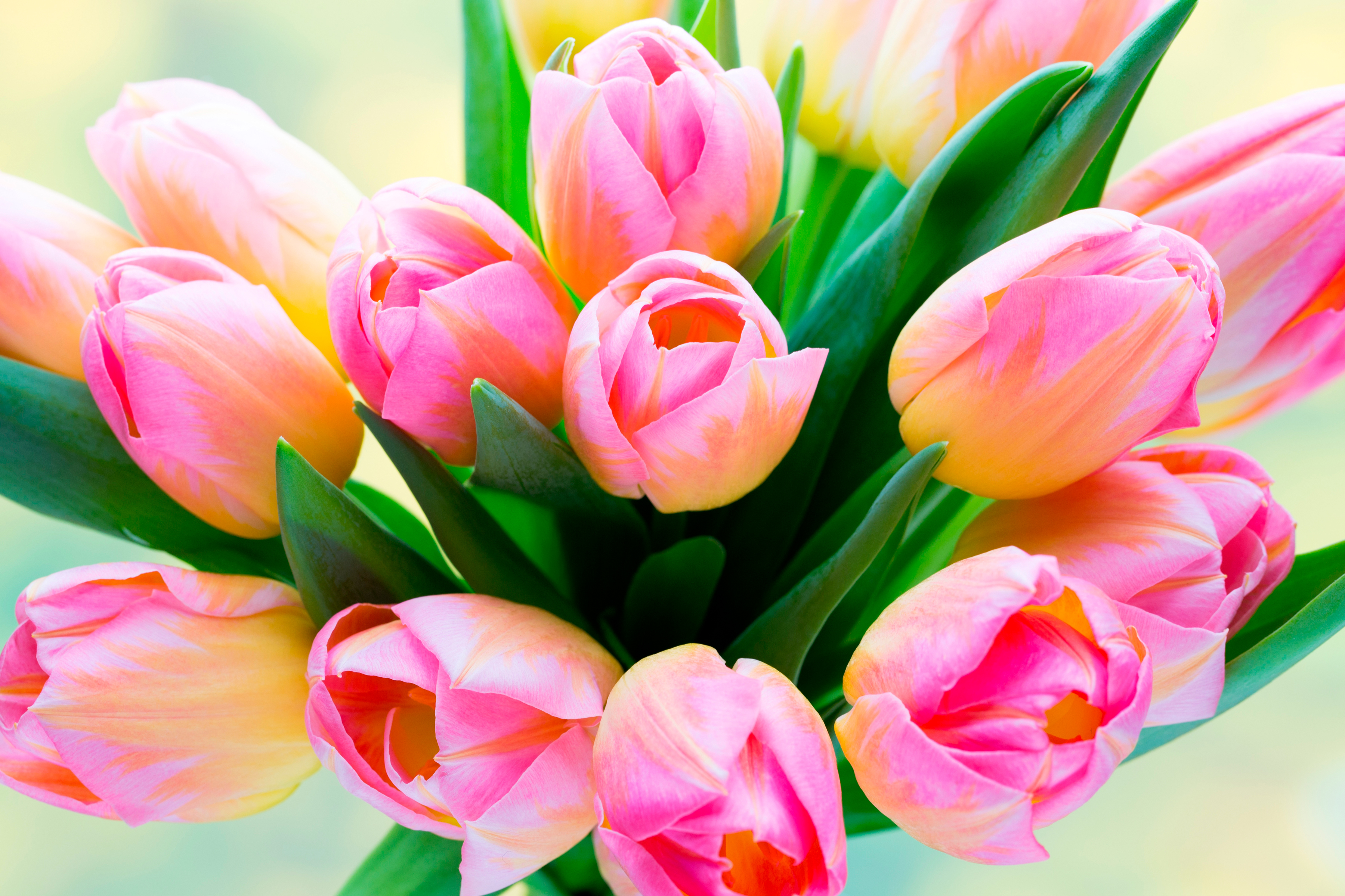 tulip-photo-53