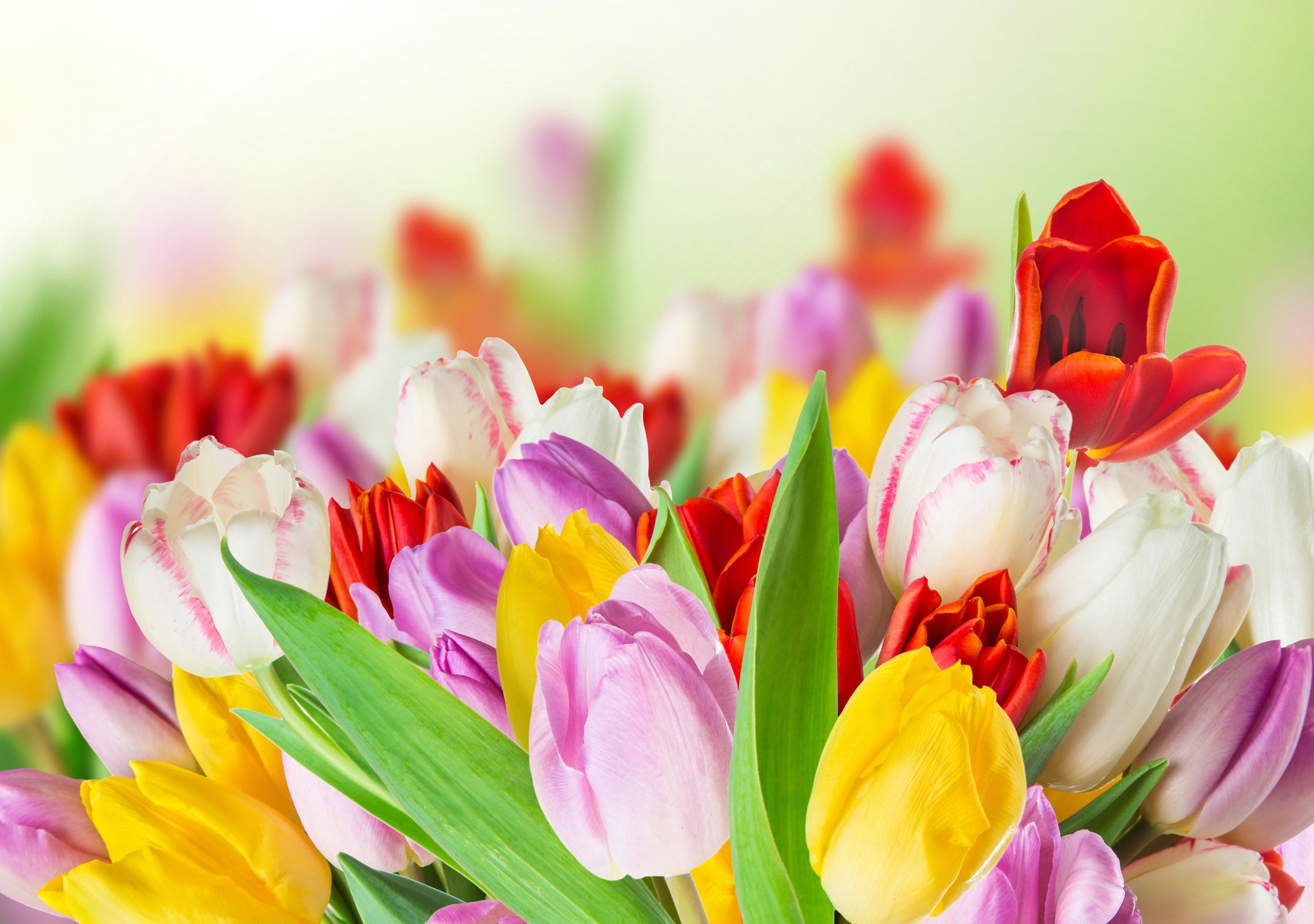 tulip-photo-54
