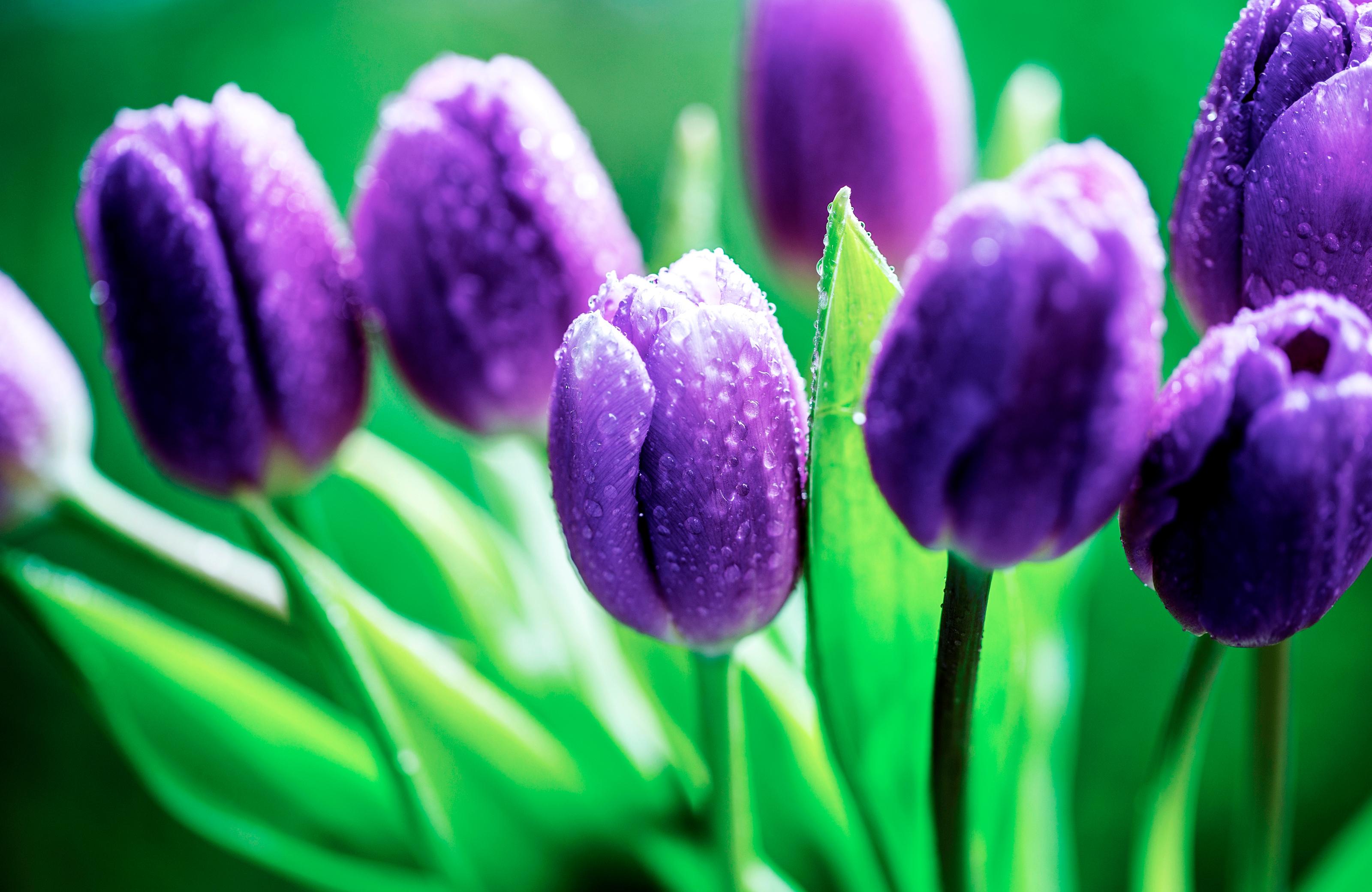 tulip-photo-55