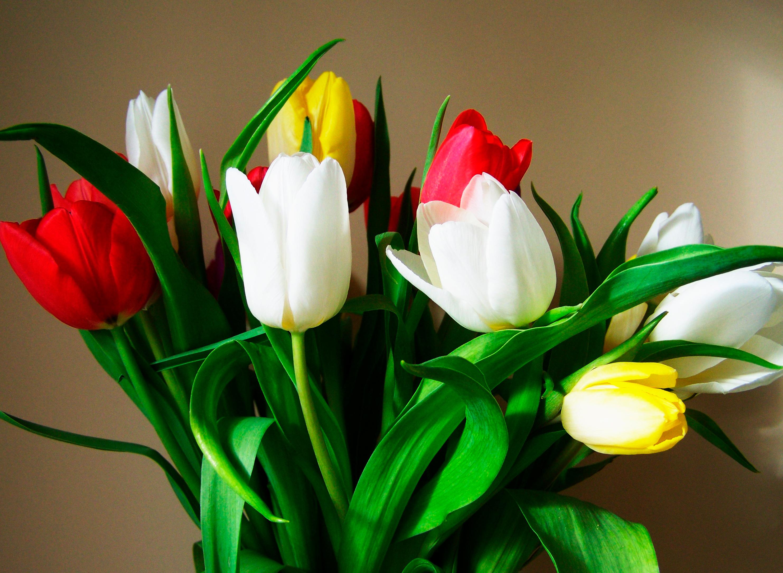 tulip-photo-56