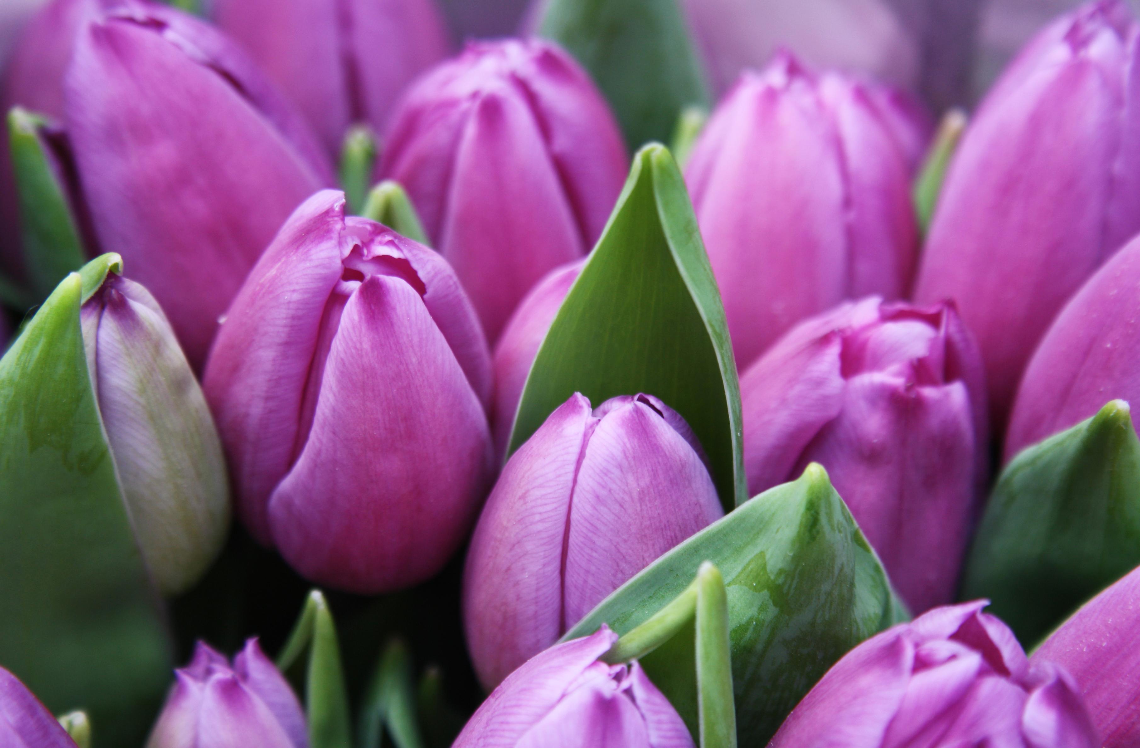 tulip-photo-58