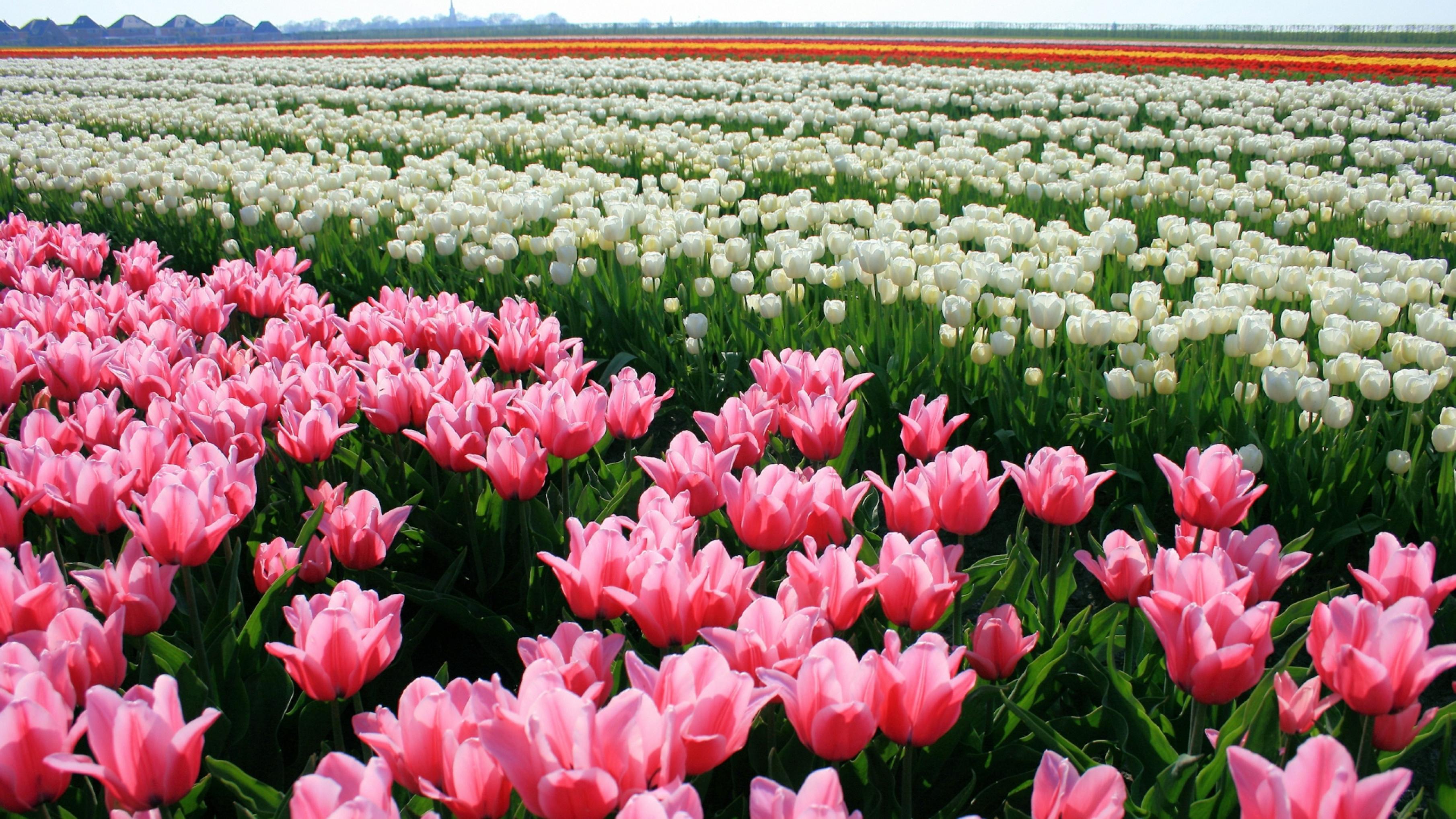 tulip-photo-59
