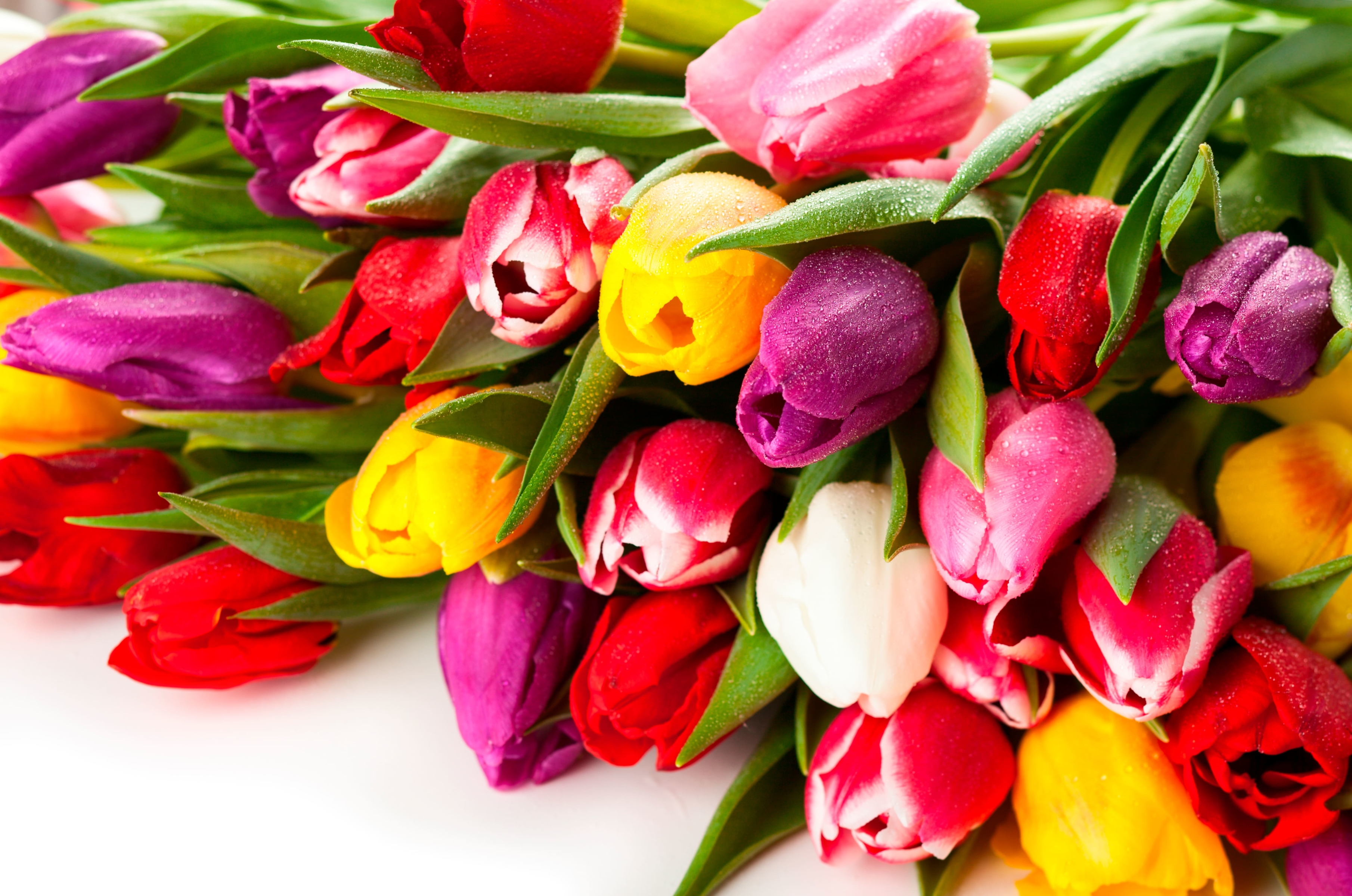 tulip-photo-6