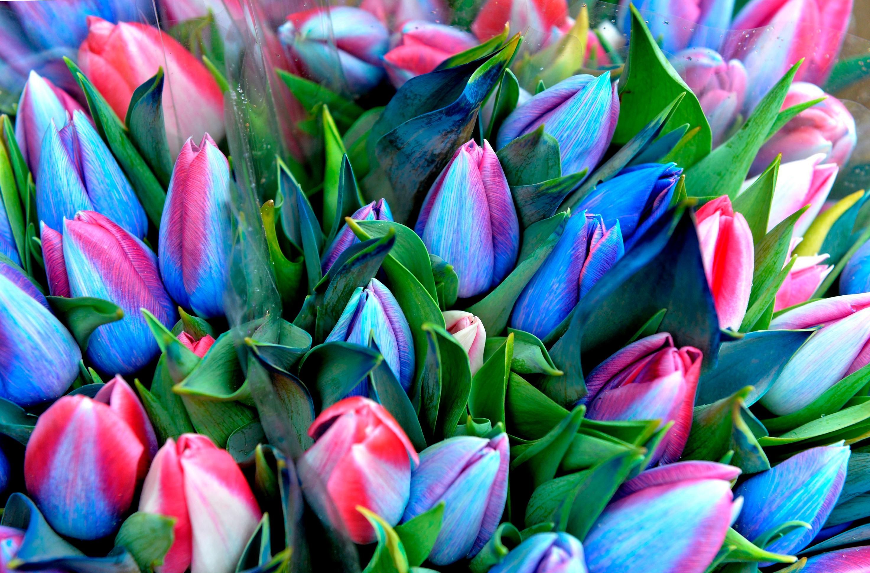 tulip-photo-60