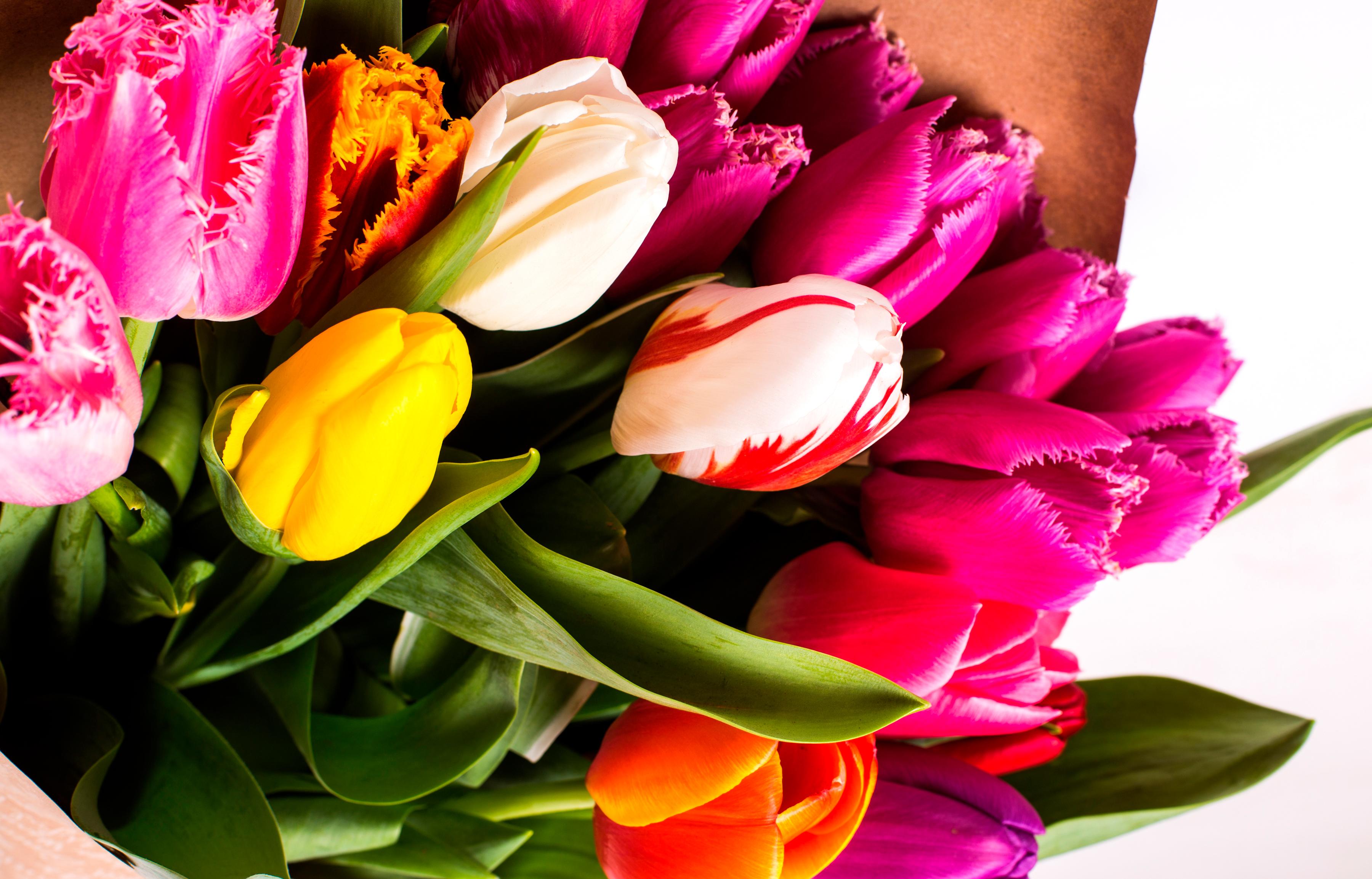 tulip-photo-61