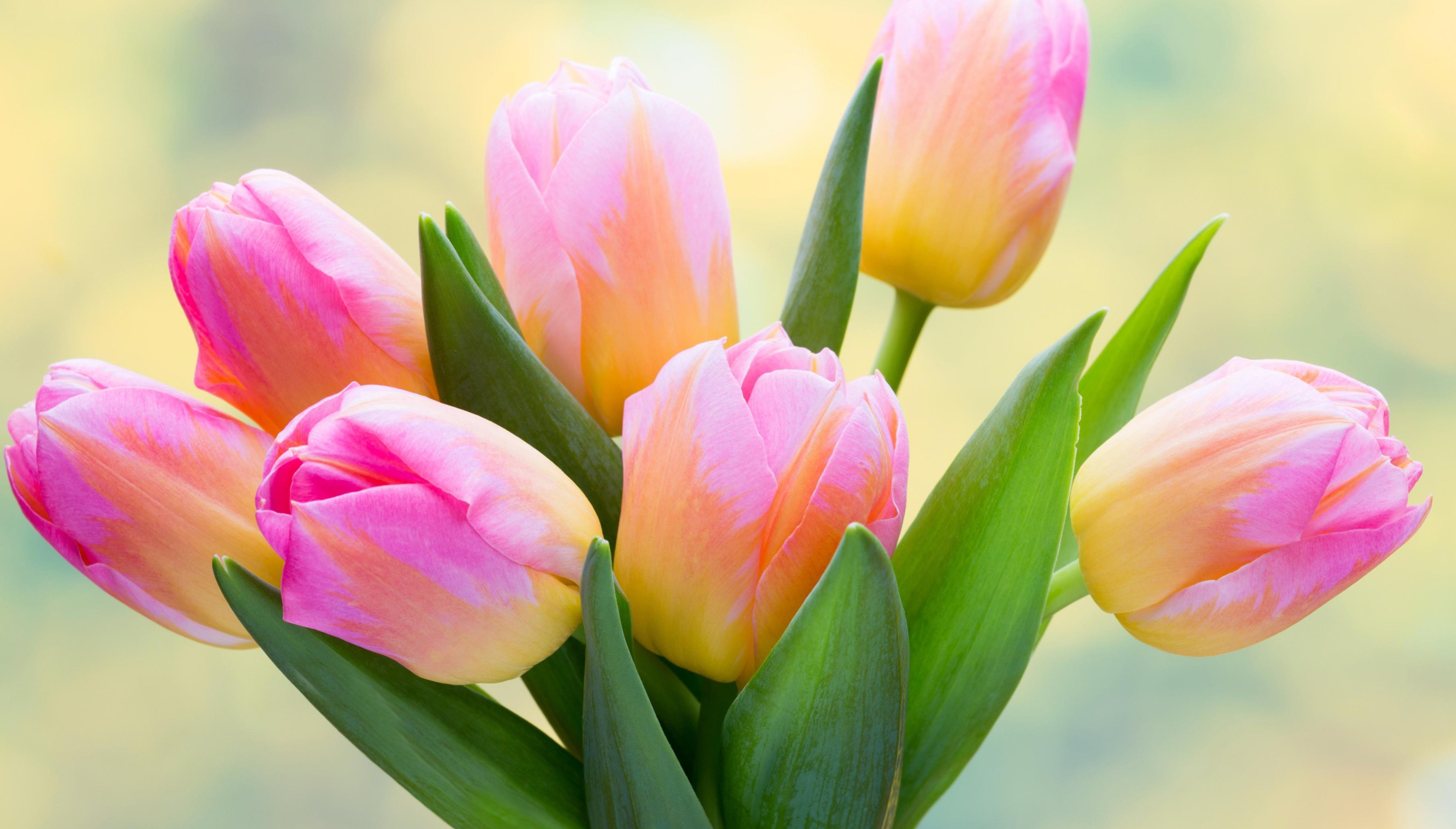 tulip-photo-64