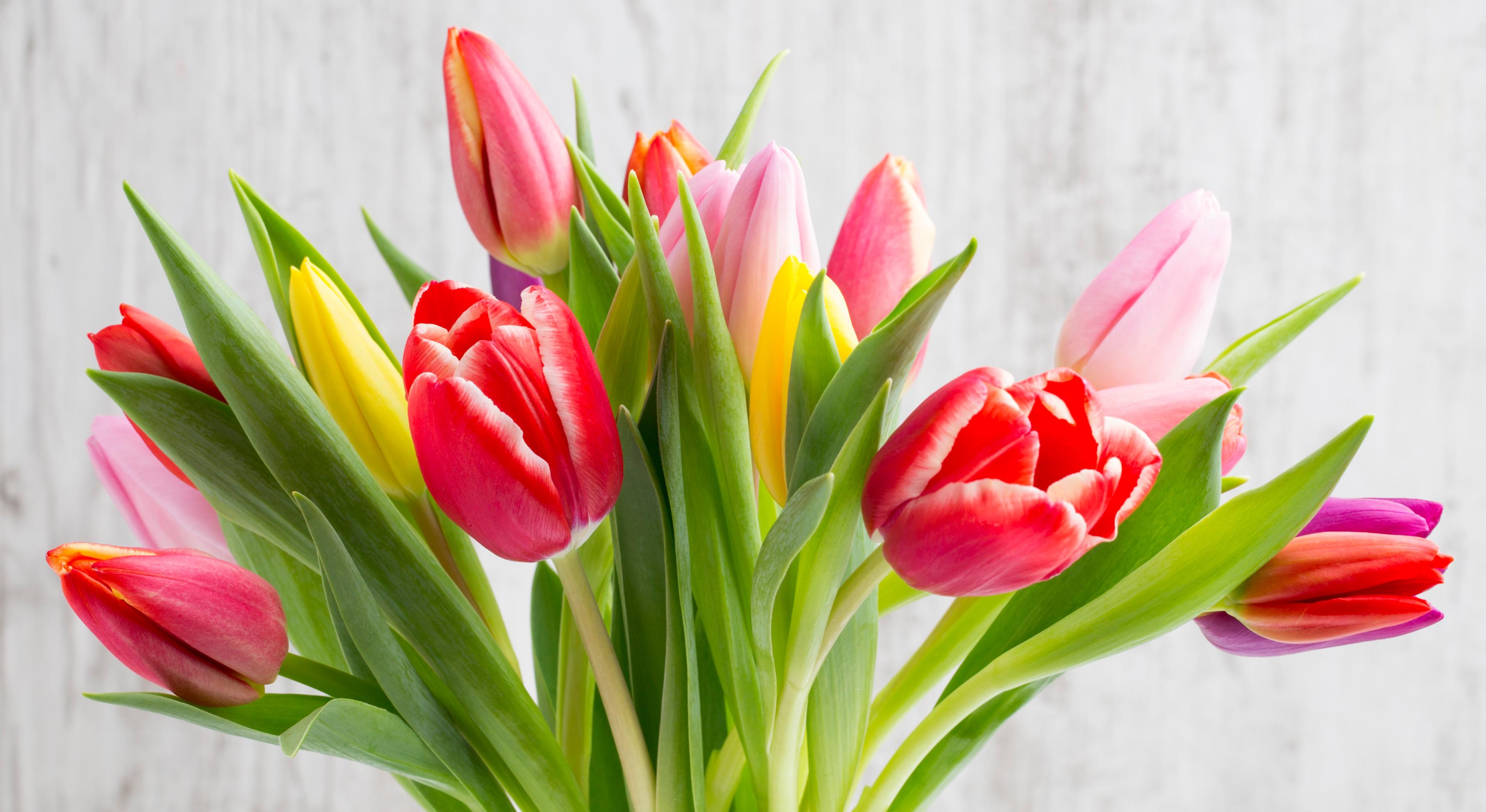 tulip-photo-65