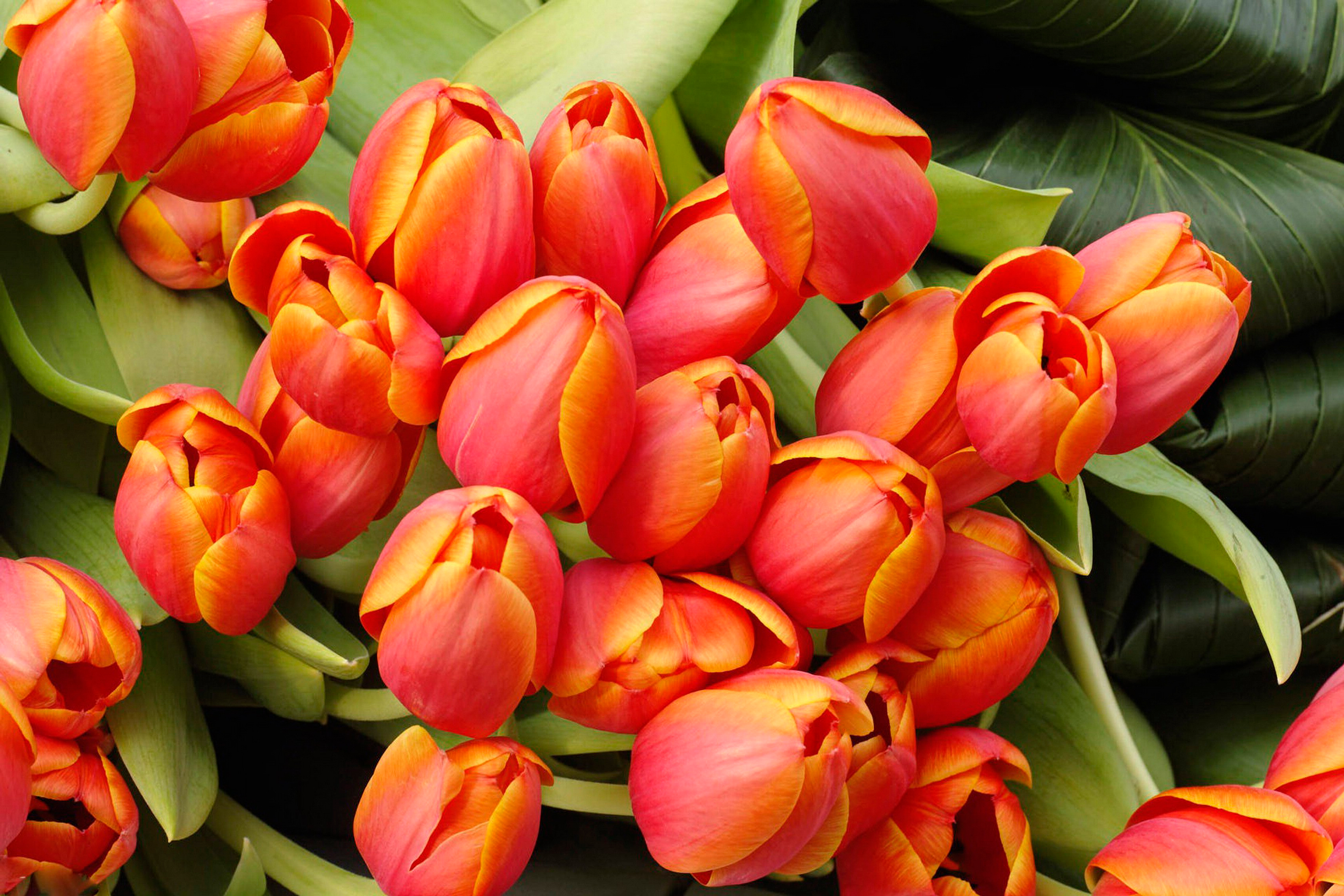 tulip-photo-66